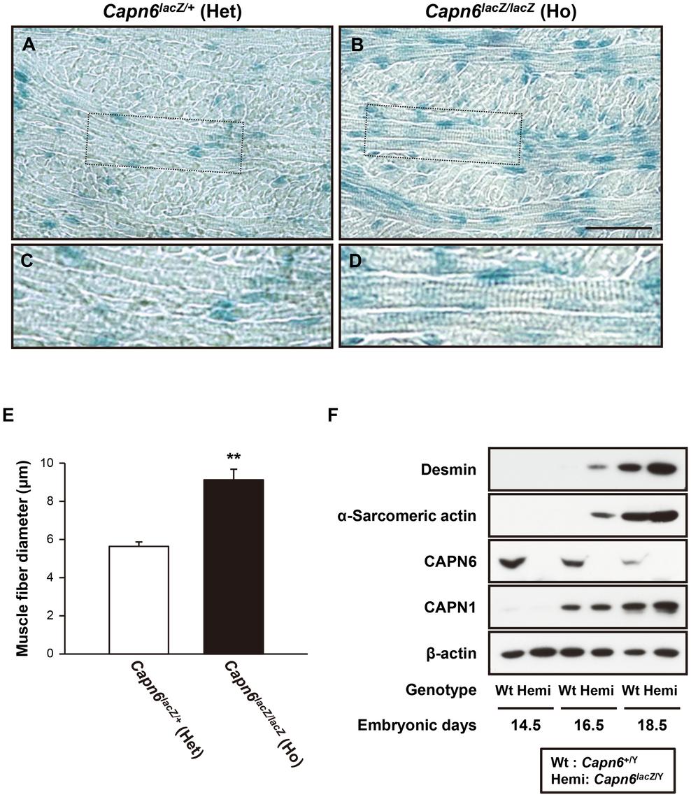 Advanced skeletal muscle development in <i>Capn6</i>-deficient embryos.