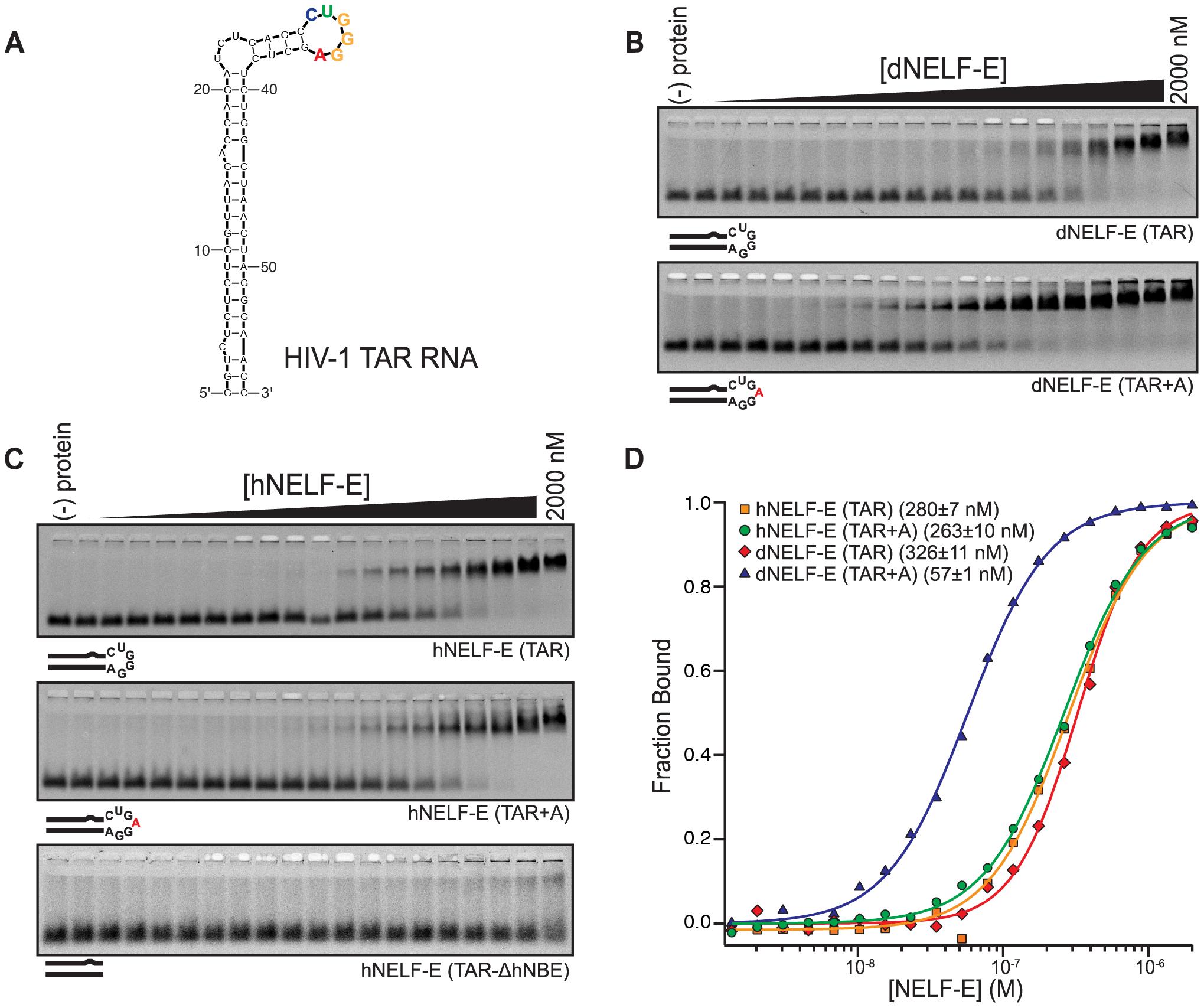Human and <i>Drosophila</i> NELF-E bind specifically to HIV-1 TAR RNA.