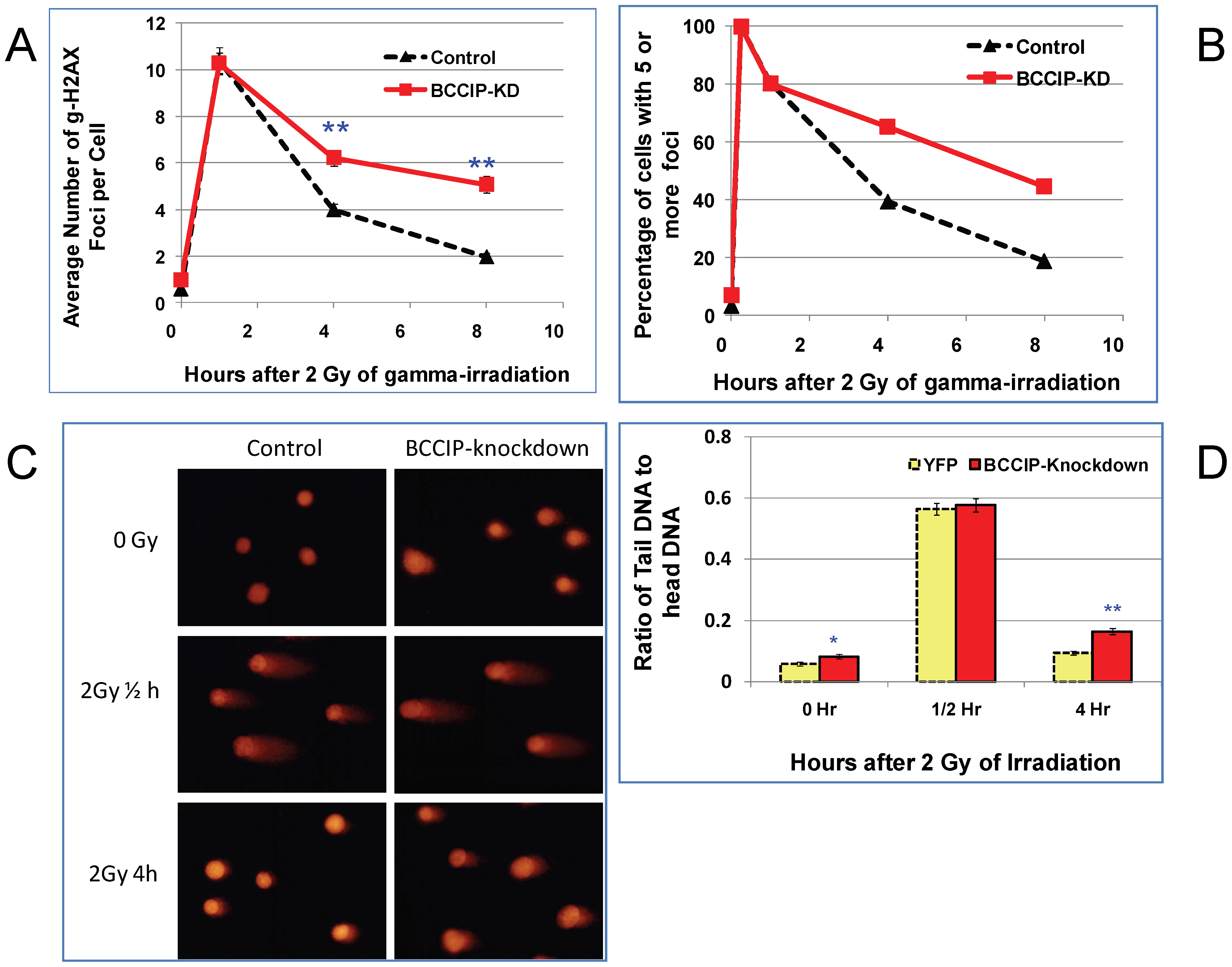BCCIP-deficient MEF cells have impaired repair of DNA damage induced by ionizing radiation.