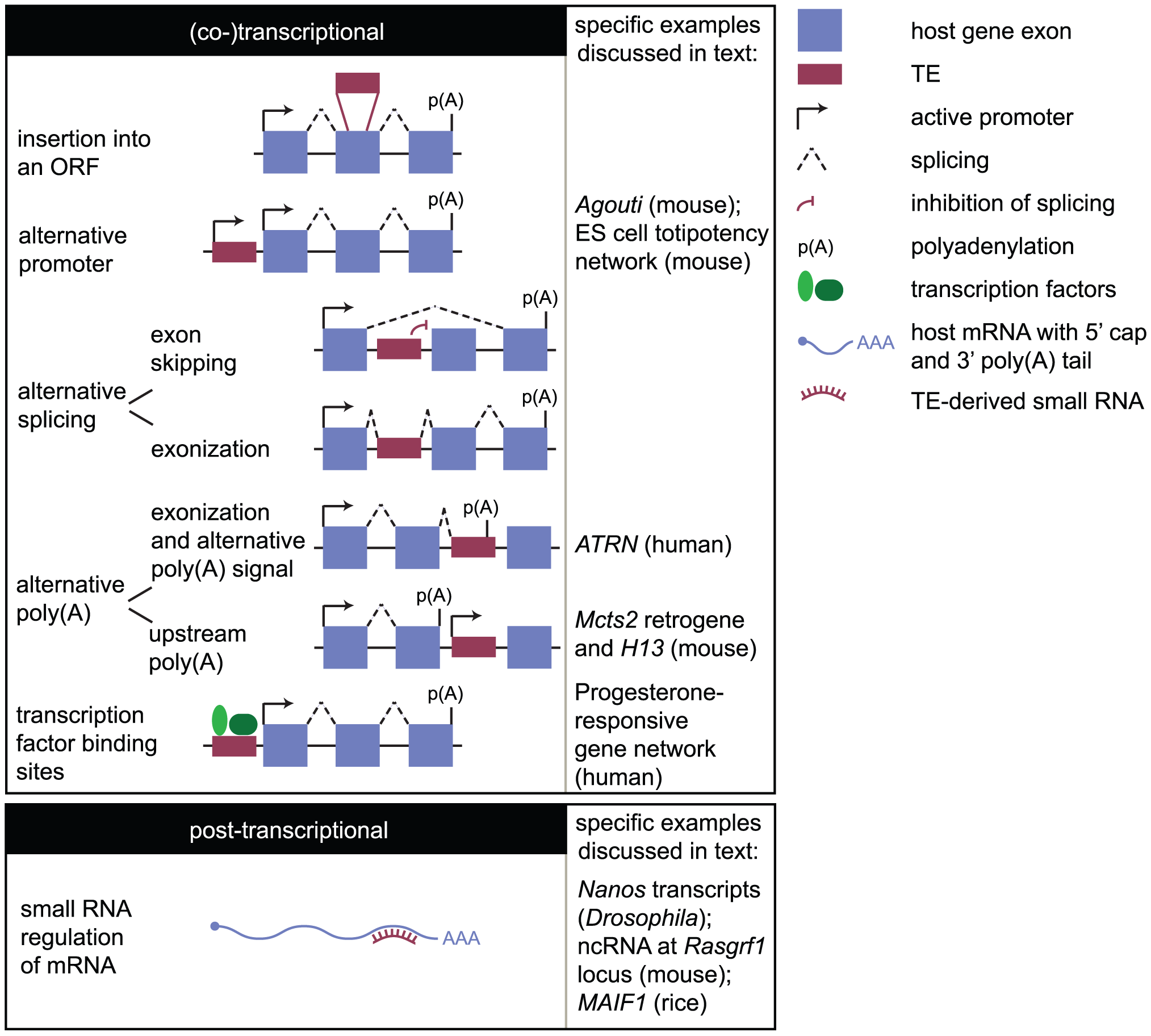 How the mobilome can impact the transcriptome.