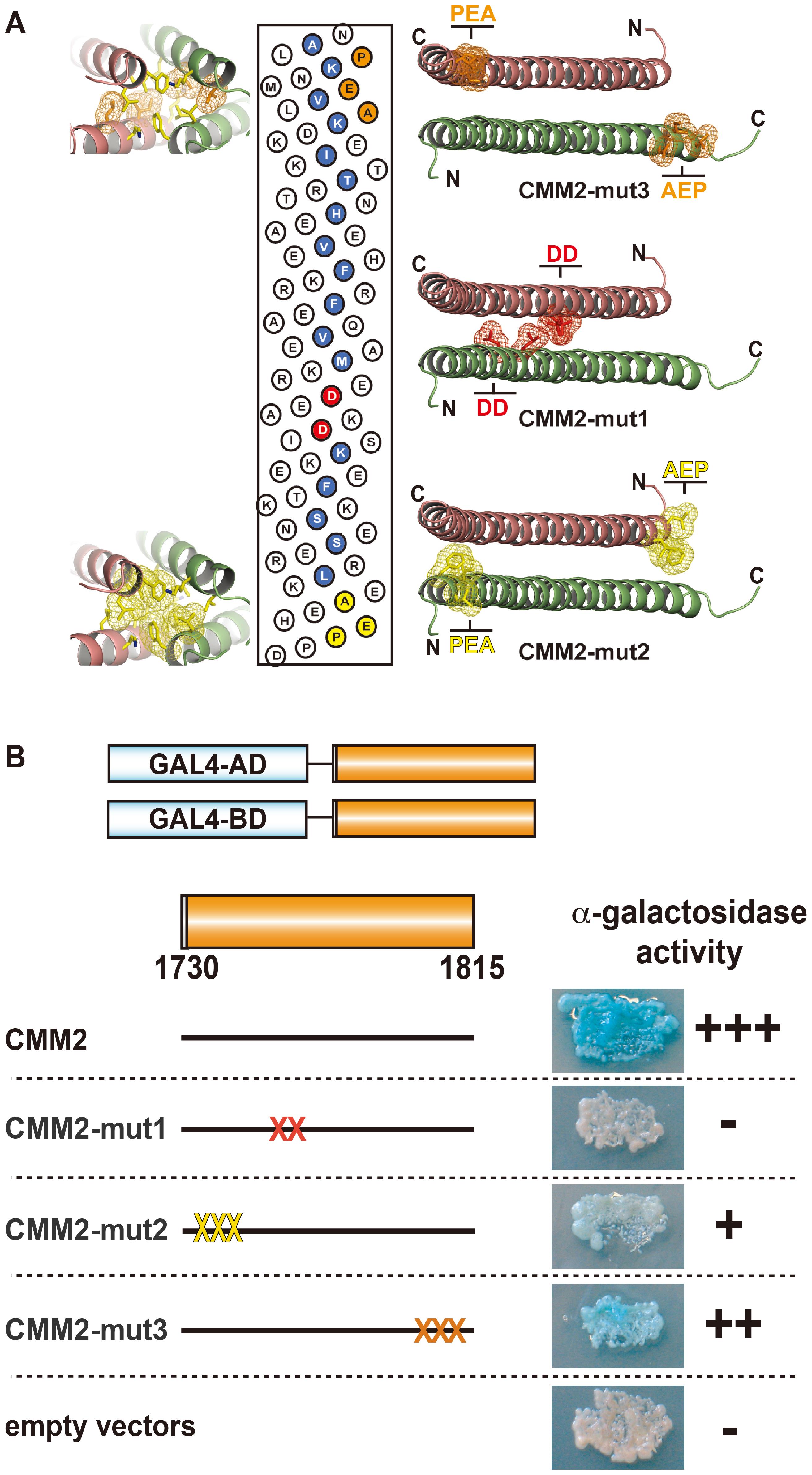 Intermolecular interaction of CMM2 domains <i>in vivo.</i>