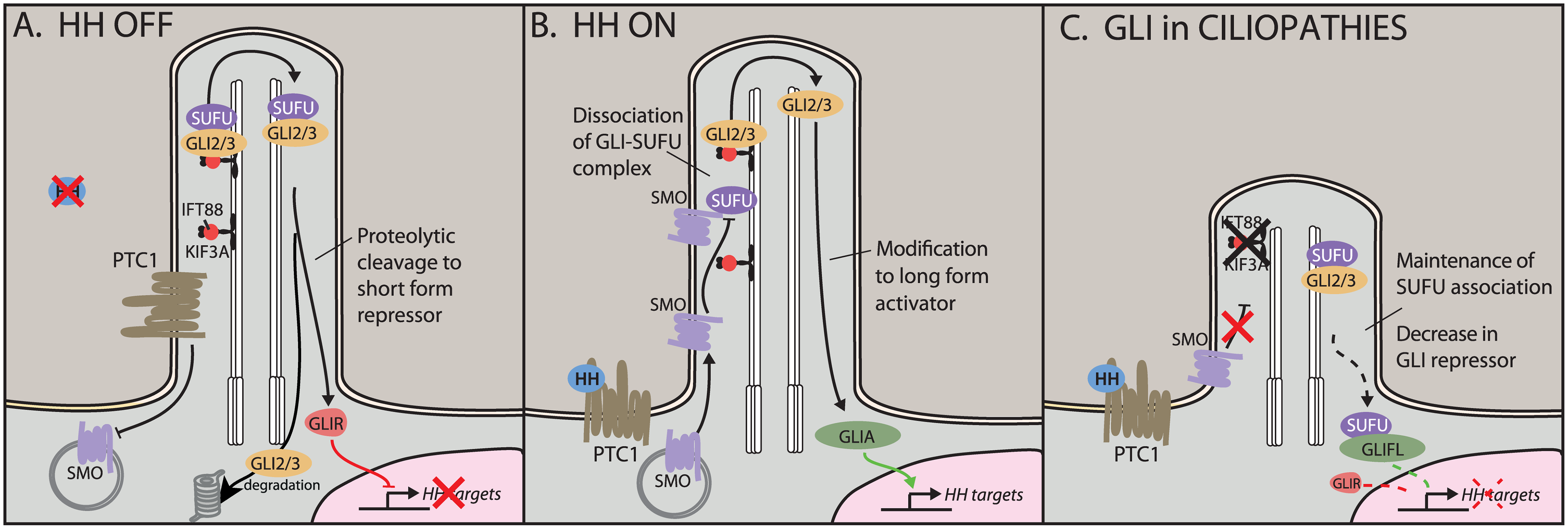 Hedgehog (HH) signaling in the cilium.