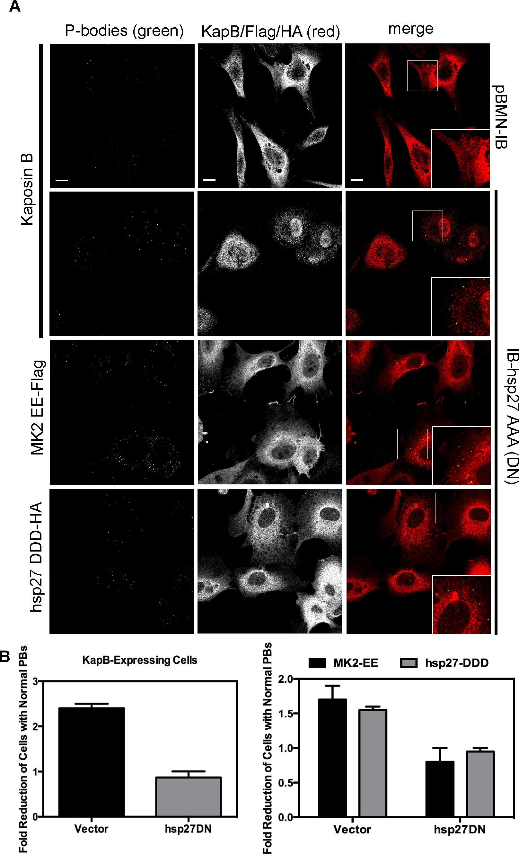 Dominant negative hsp27 inhibits KapB-induced p-body disruption.