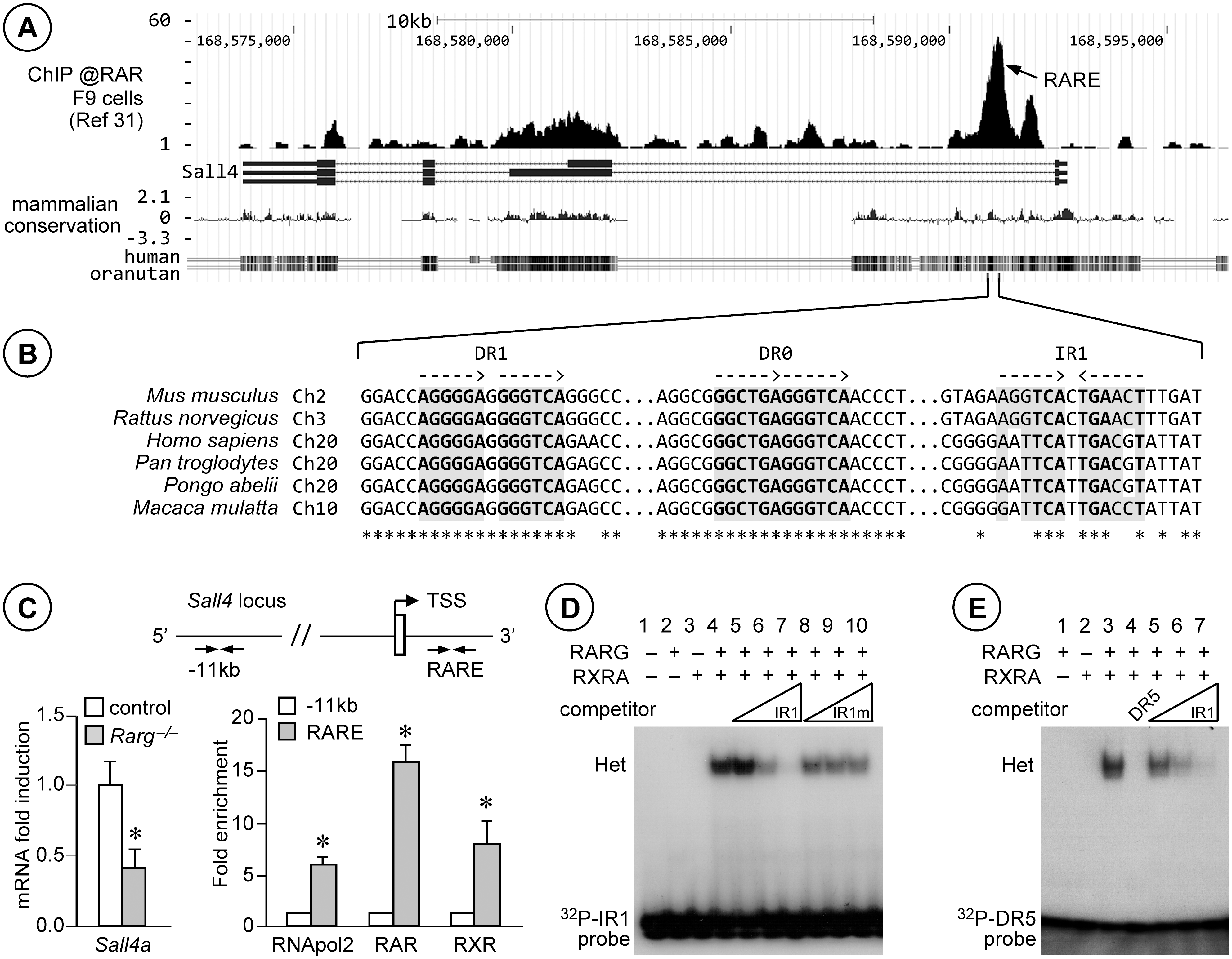 RARG/RXRA heterodimers bind to <i>Sall4</i> in testis chromatin, on an IR1 motif located in the first intron.
