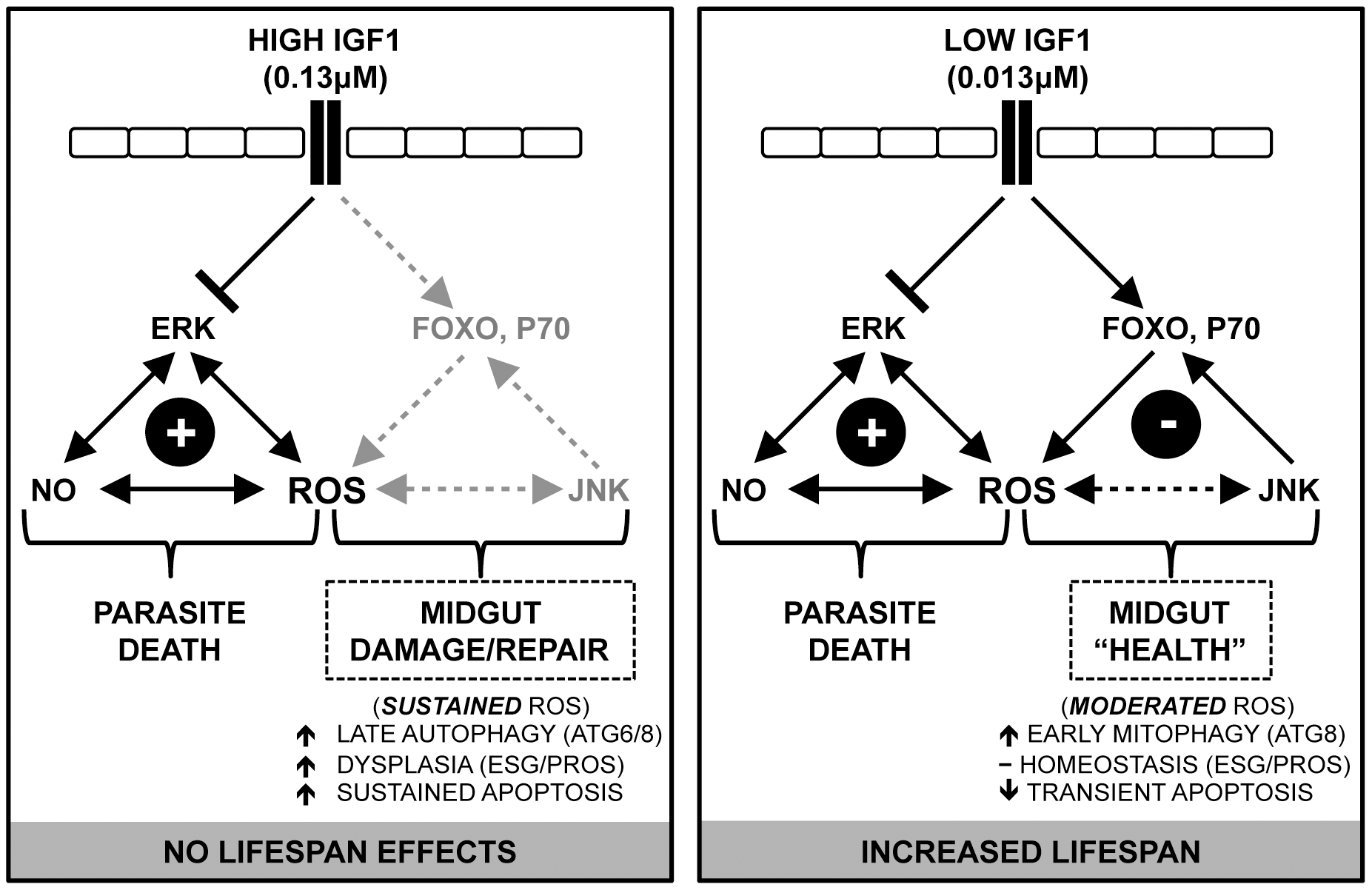 Proposed model: IGF1 fine-tunes the balance of epithelial homeostasis and midgut integrity, enhancing survival and anti-parasite resistance in <i>A. stephensi</i>.