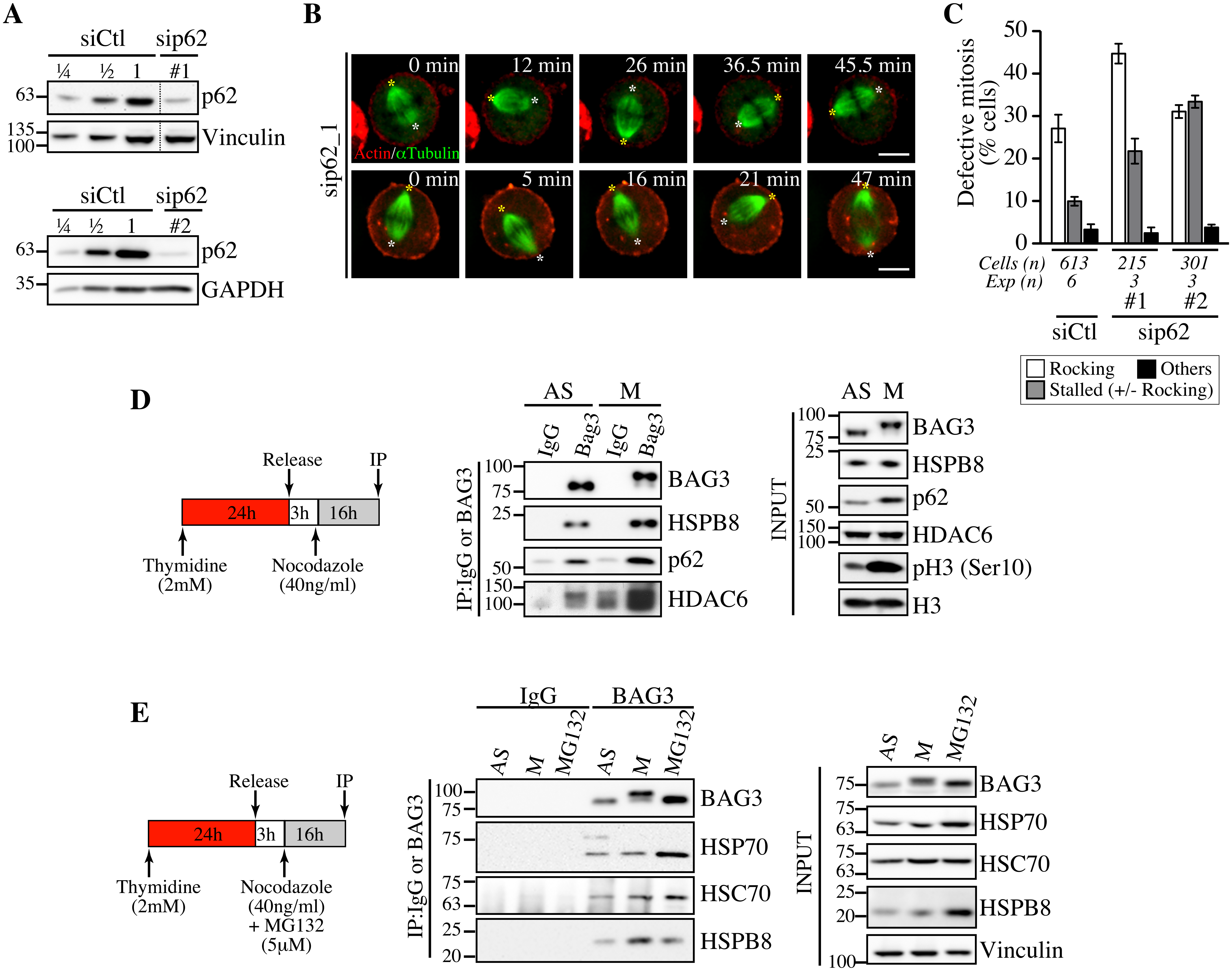 Depletion of p62, which forms a mitotic complex with BAG3-HSPB8, recapitulates the same phenotype on spindle dynamics.