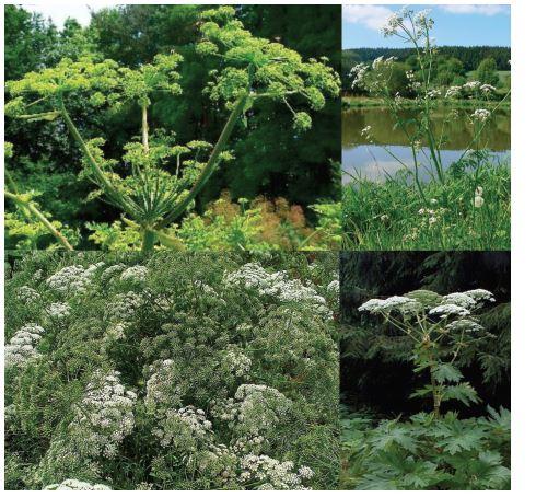 Apiaceae (shora: Angelica archangelica, Anthriscus sylvestris Ammi maius, Heracleum mantezzianum)