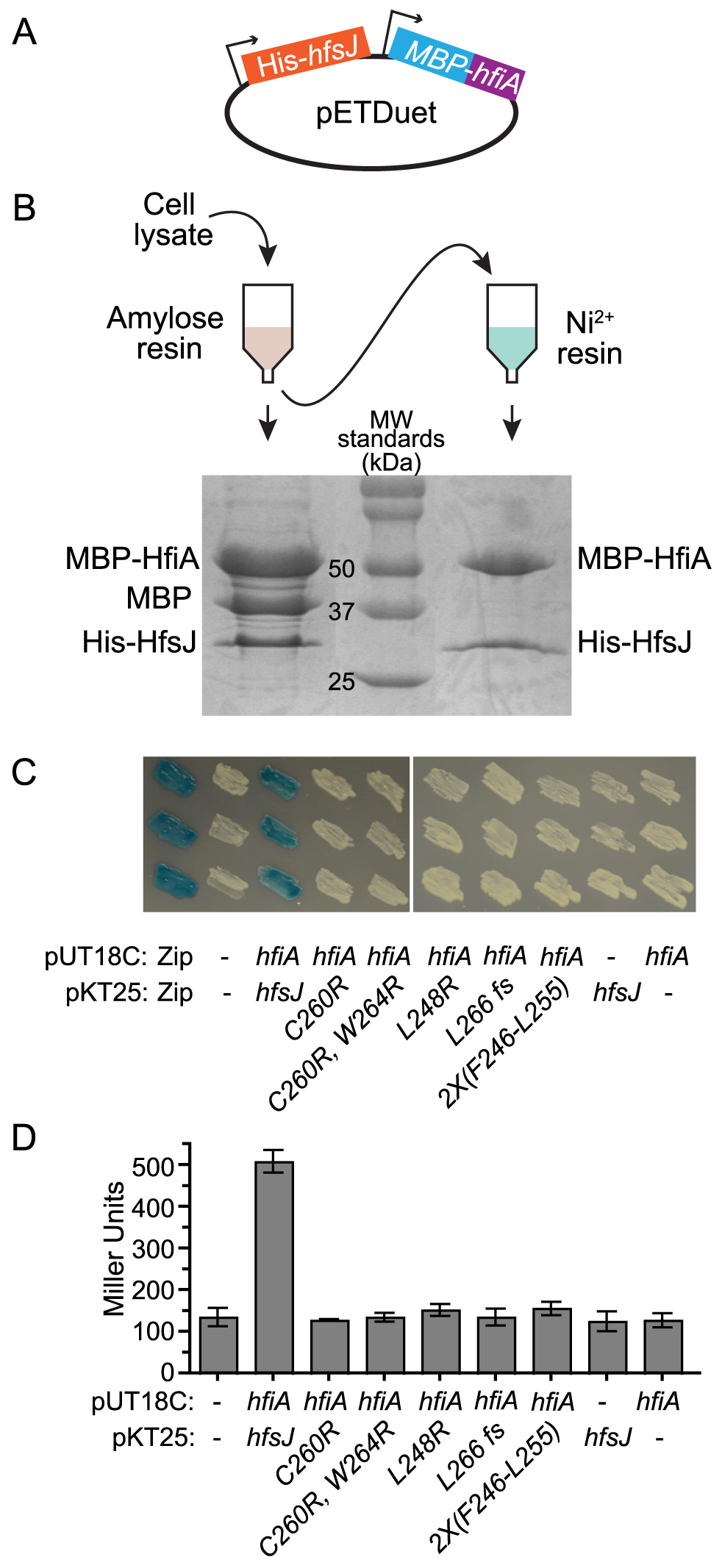 HfiA and HfsJ directly interact in vitro and in vivo.