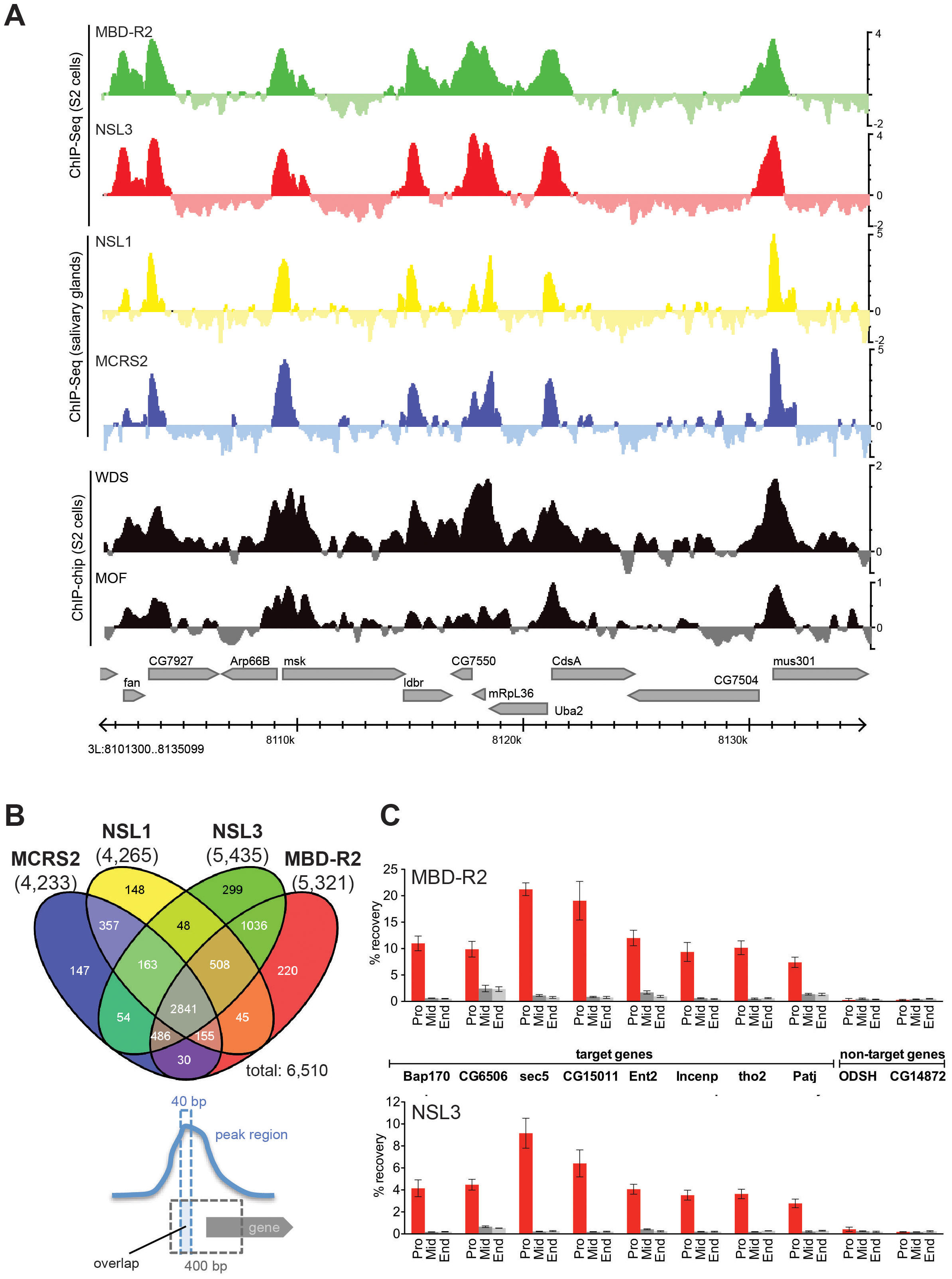 NSL proteins concomitantly bind to 5′ end of genes.
