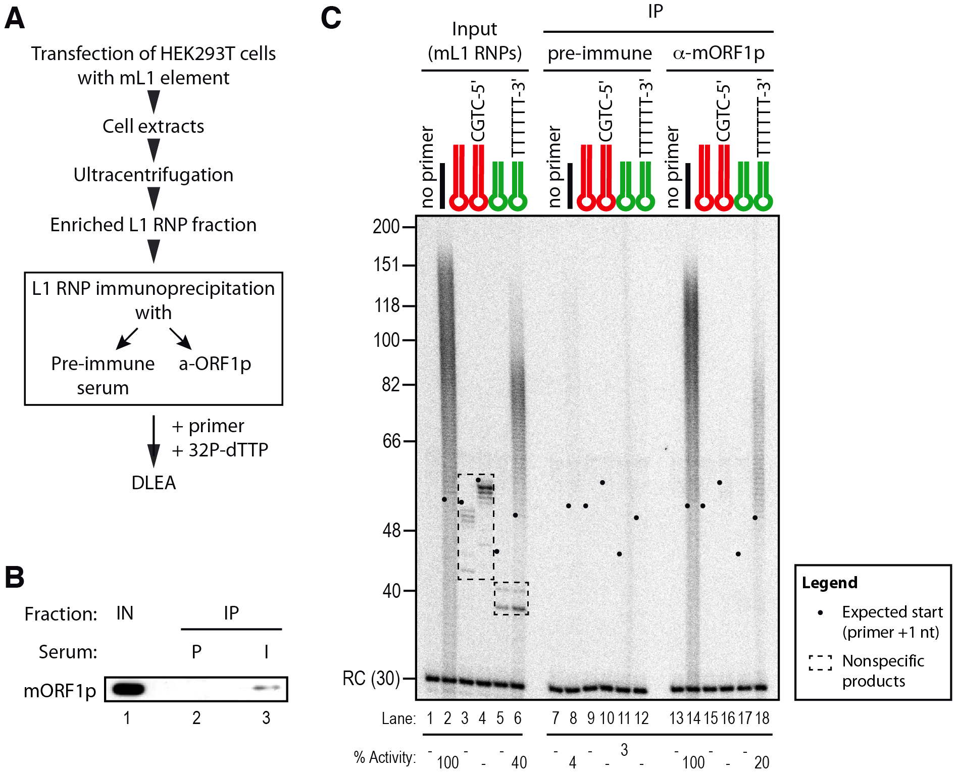 Priming of reverse transcription by immunopurified mL1 RNP.