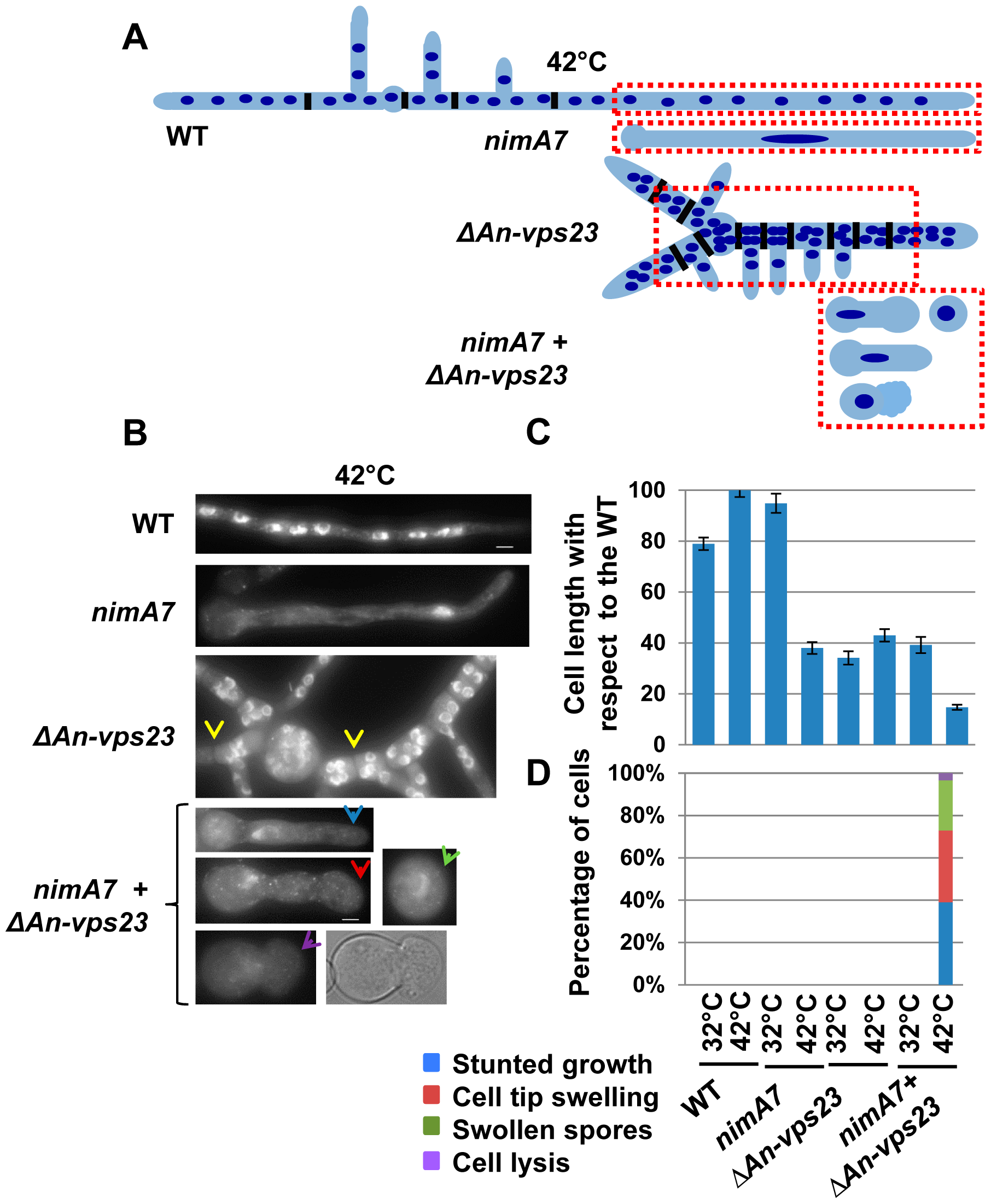 Deletion of <i>An-vps23</i> modifies the terminal phenotype of cells lacking NIMA function.