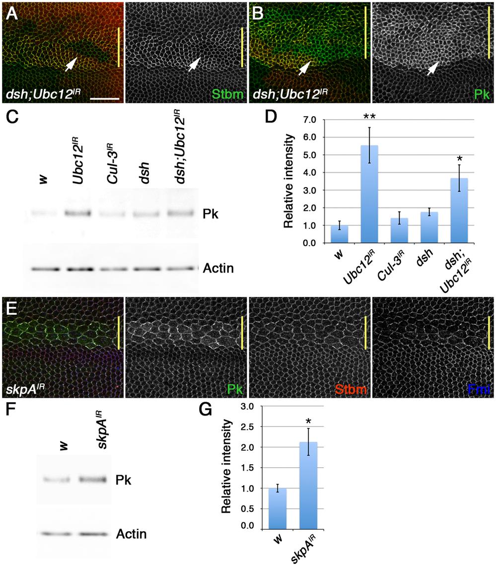 The SkpA ubiquitin ligase subunit regulates Pk degradation.