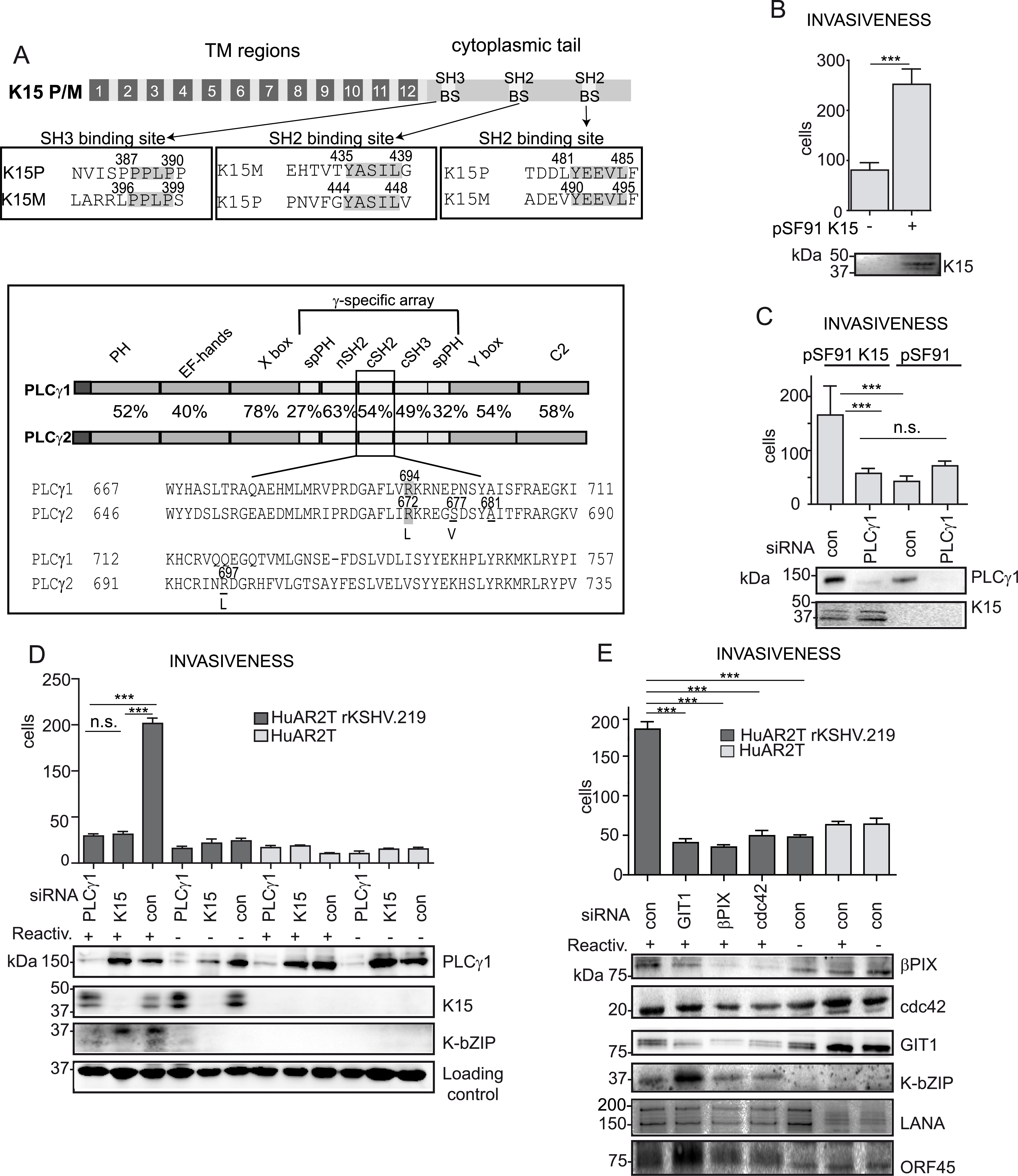 K15 confers invasiveness to KSHV infected endothelial cells in a PLCγ1-dependent manner.