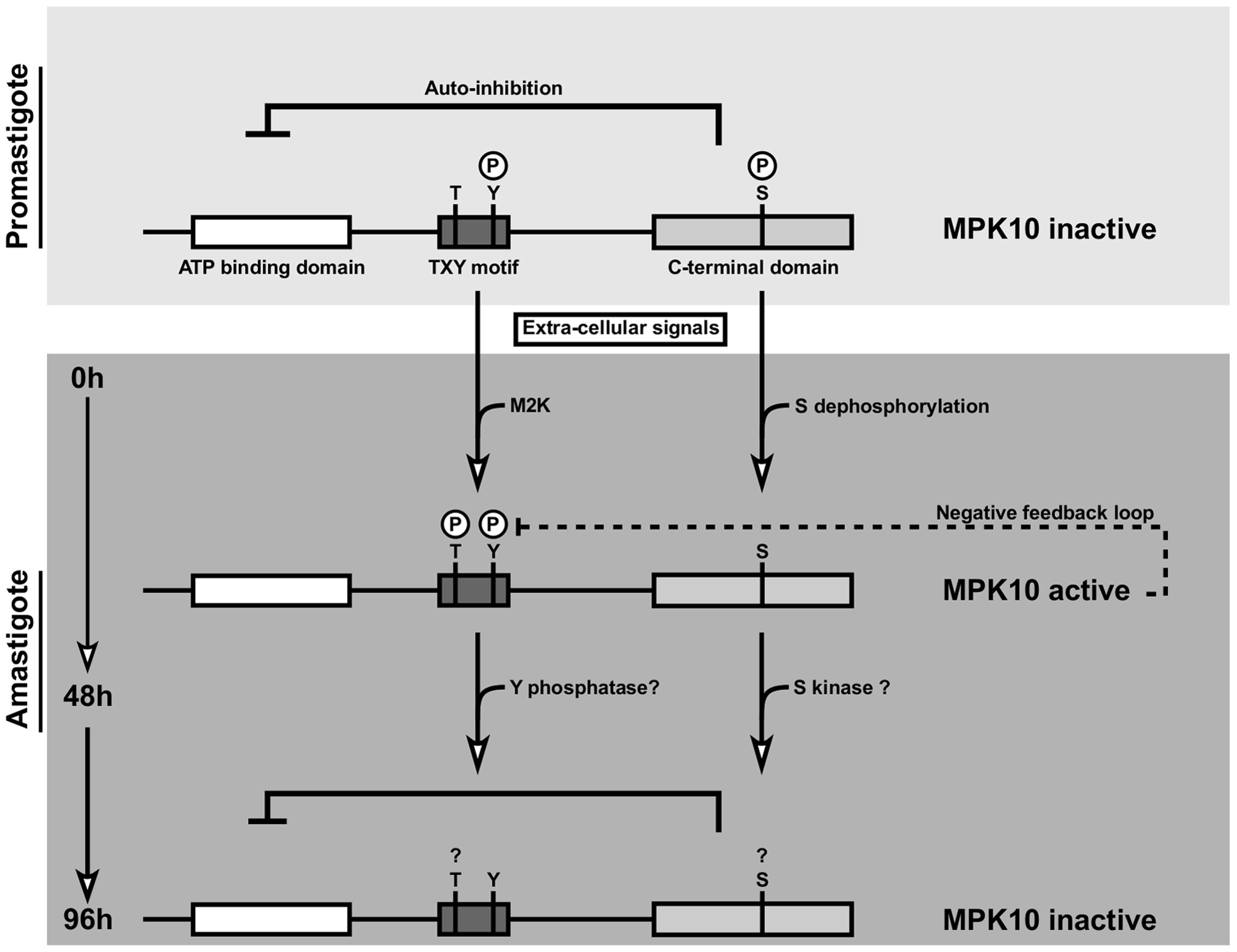 Model of MPK10 regulation based on our data.