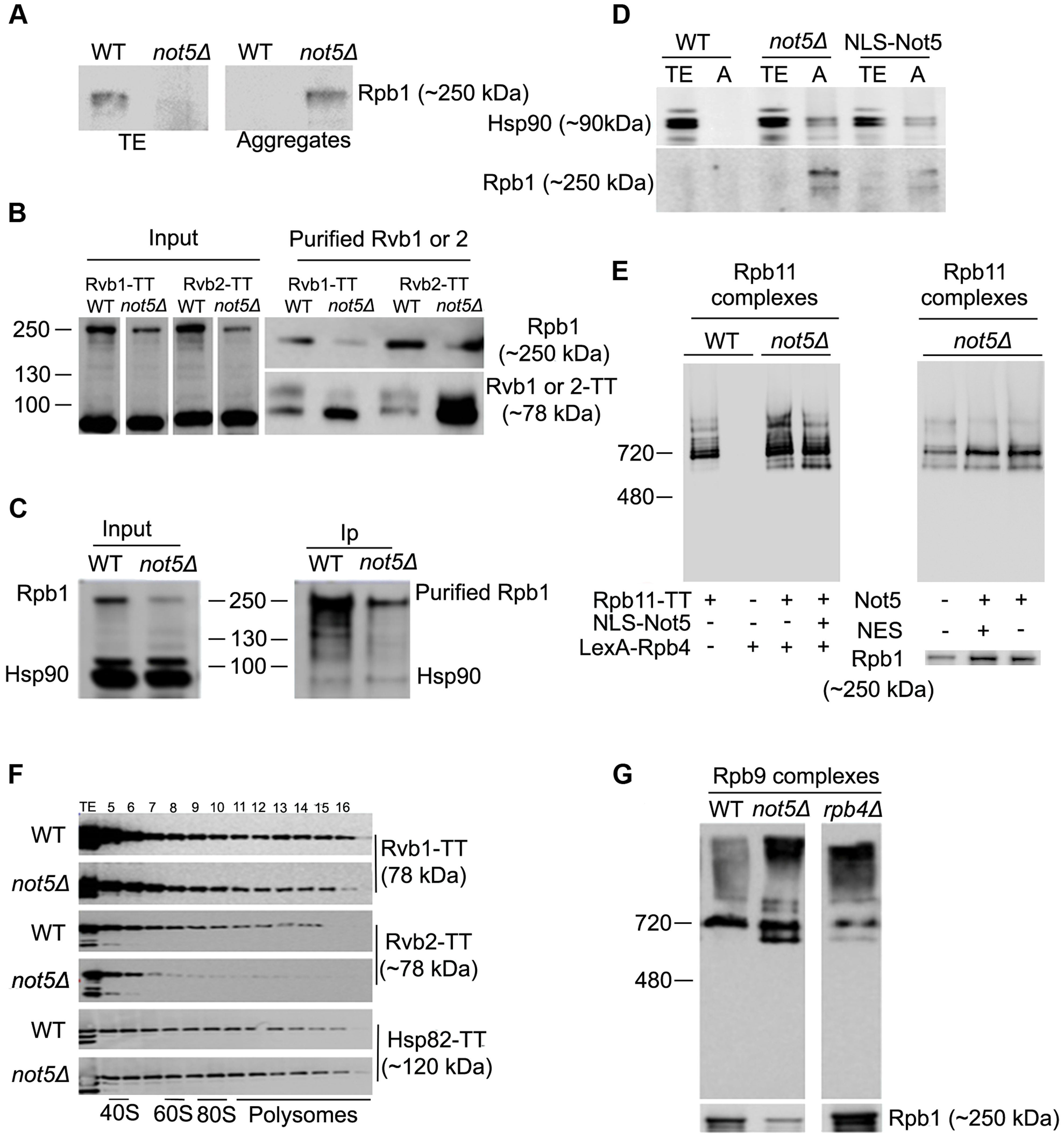 Assembly of Rpb1 with the R2TP Hsp90 co-chaperone is reduced and Rpb1 aggregates in <i>not5Δ</i>.