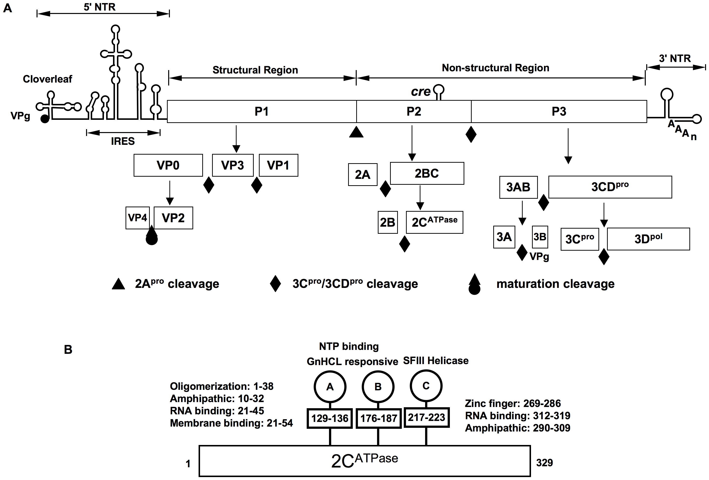 The genomic organization of C-HEV RNAs, proteolytic processing of the polyprotein and PV 2C<sup>ATPase</sup> motifs.