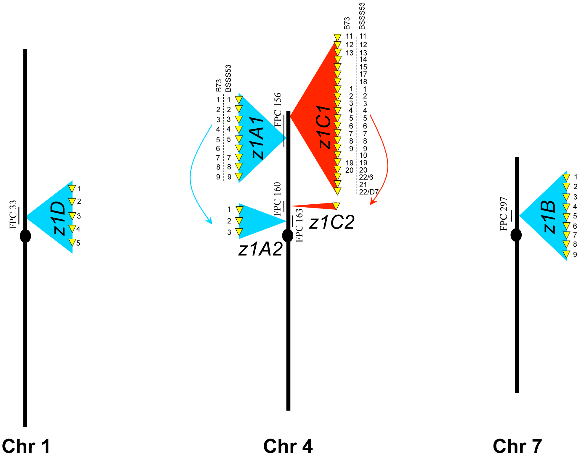 Genomic distribution of the α-zeins in the two inbred lines.