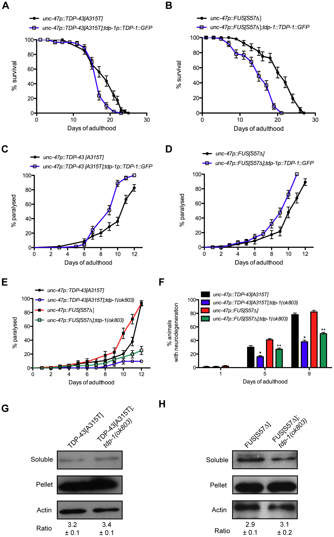 TDP-1 regulates mutant TDP-43 and FUS proteotoxicity in <i>C. elegans</i>.