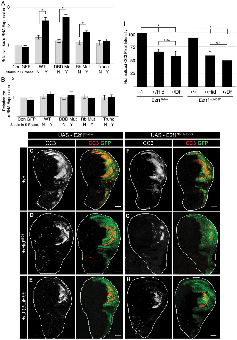 Stabilizing E2f1 during S phase induces <i>hid</i> expression.