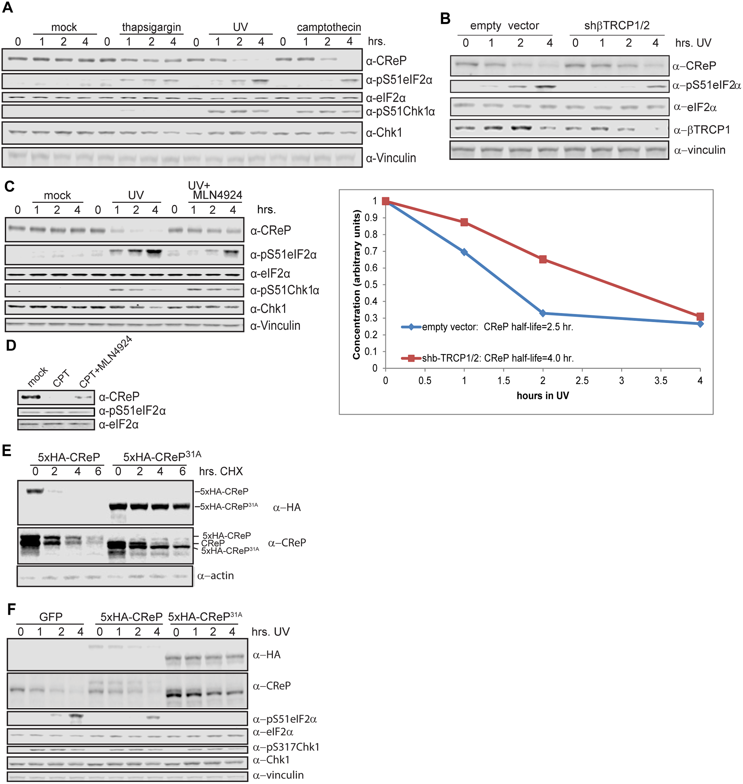 Regulation of CReP turnover and impact on eIF2α phosphorylation.