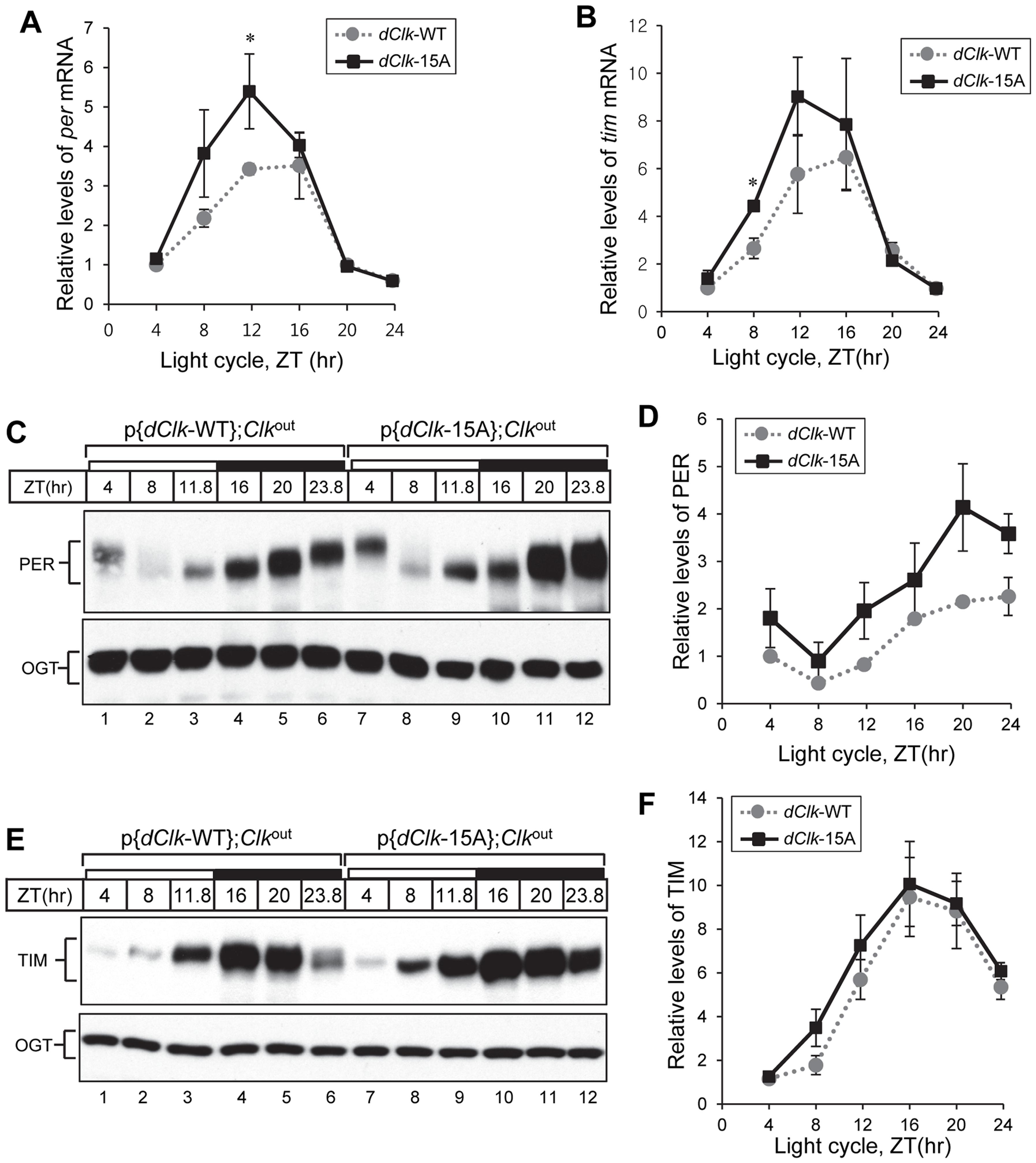 Higher amplitude rhythms of <i>per</i> mRNA and protein in p{<i>dClk</i>-15A};<i>Clk</i><sup>out</sup> flies.