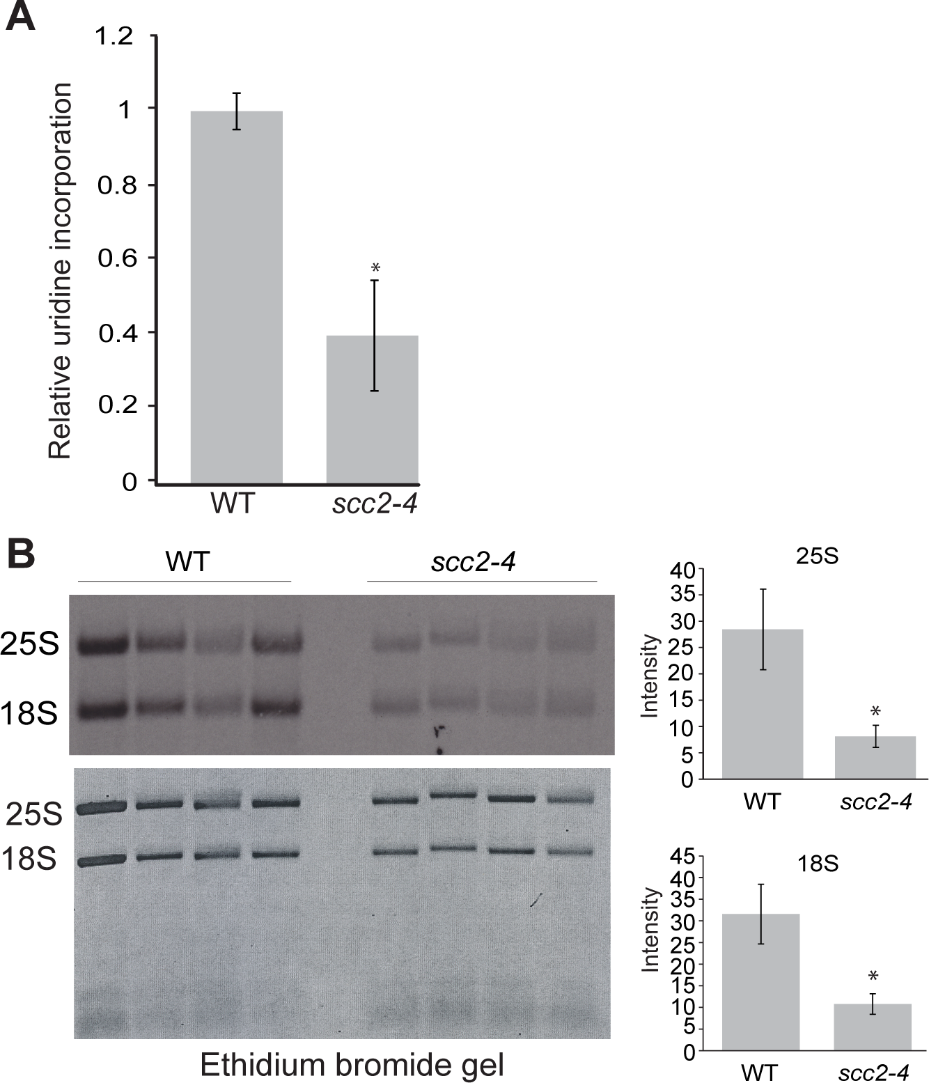Ribosomal RNA production is compromised in the <i>scc2-4</i> mutant.