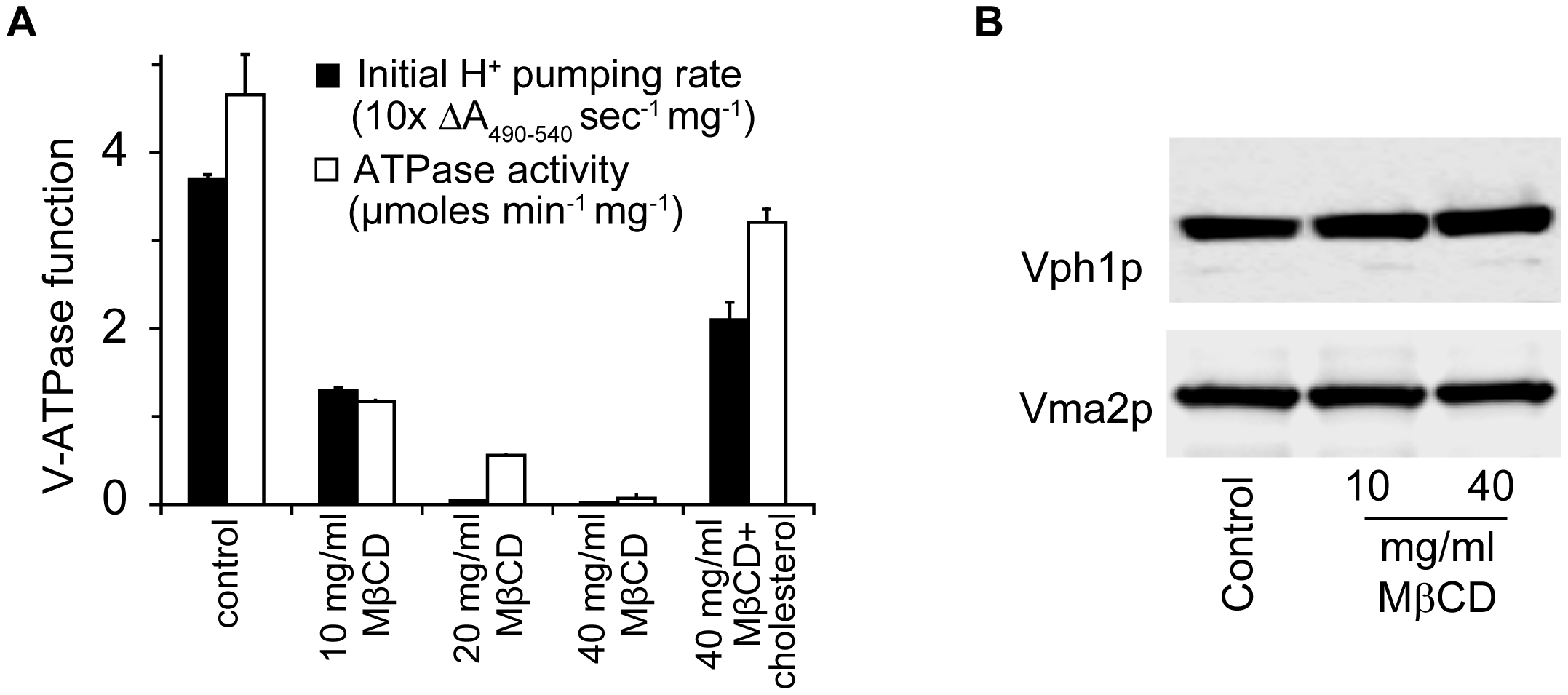 Ergosterol is critical for V-ATPase function.