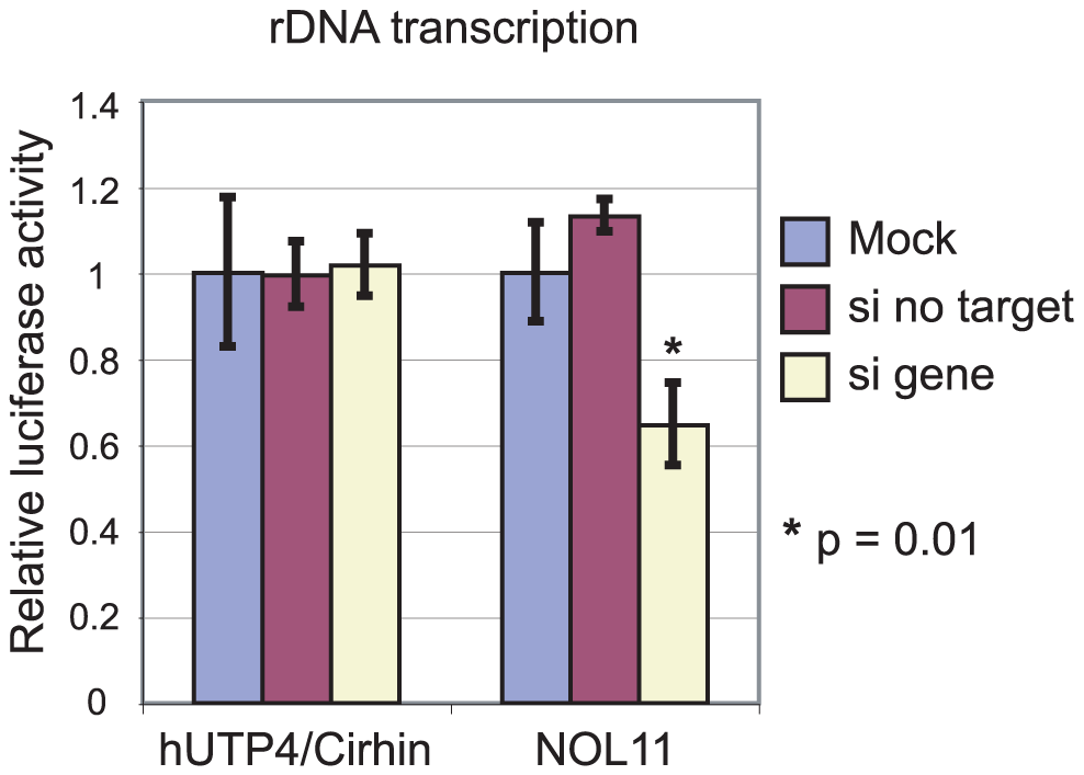 NOL11 is required for optimal rDNA transcription.