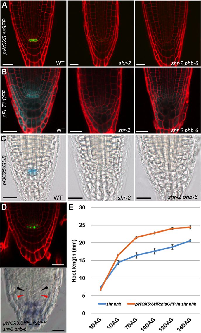 Recovery of root meristem/growth activity in the absence of a functional QC.