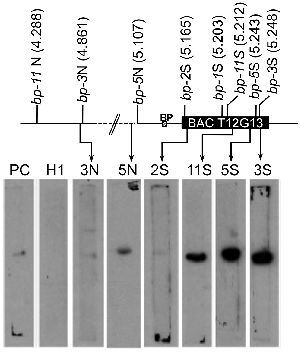 Breakpoint junction regions bind the nuclear matrix protein AHL1.