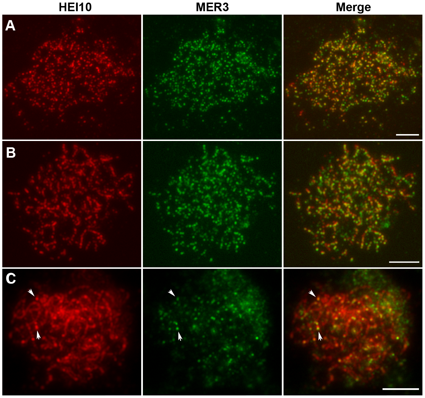 Dual immunolocalization of HEI10 and MER3 in WT meiocytes.