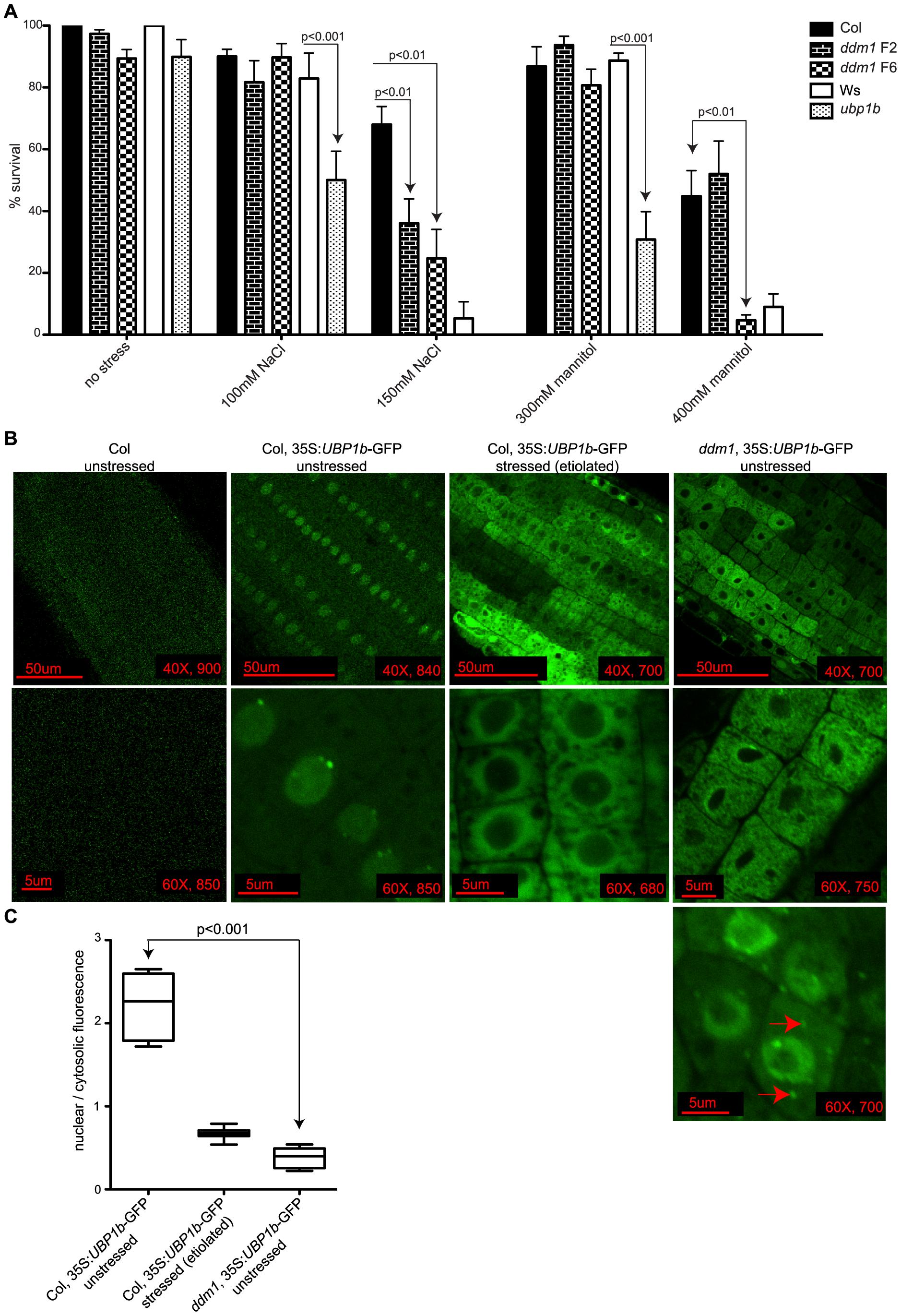 UBP1b protein localization and stress sensitivity of <i>ddm1</i>.