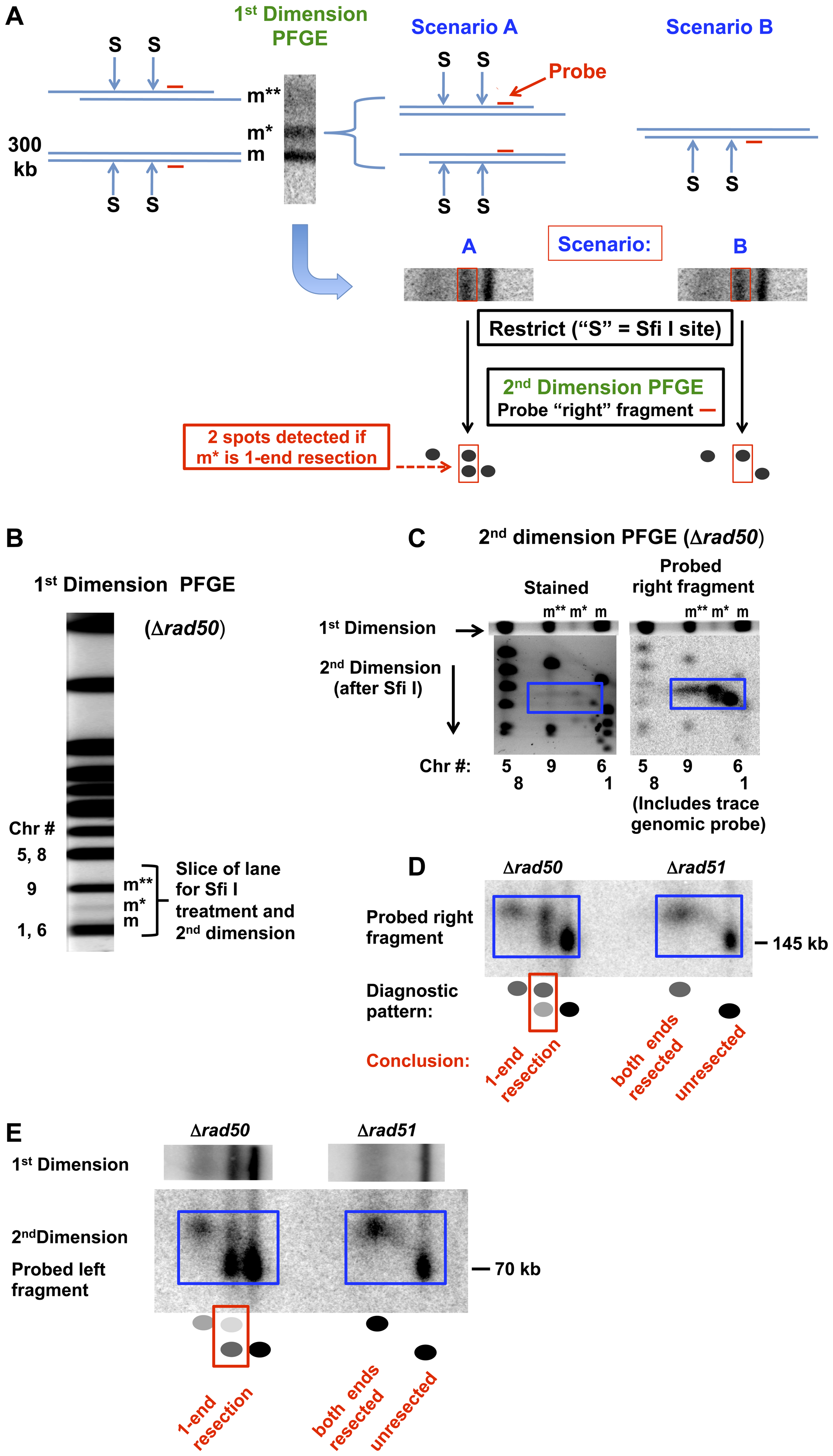 Detection of 1-end and 2-end resections at a DSB based on rare restriction cutter analysis of 1D PFGE-shifted molecules and subsequent 2D-PFGE.