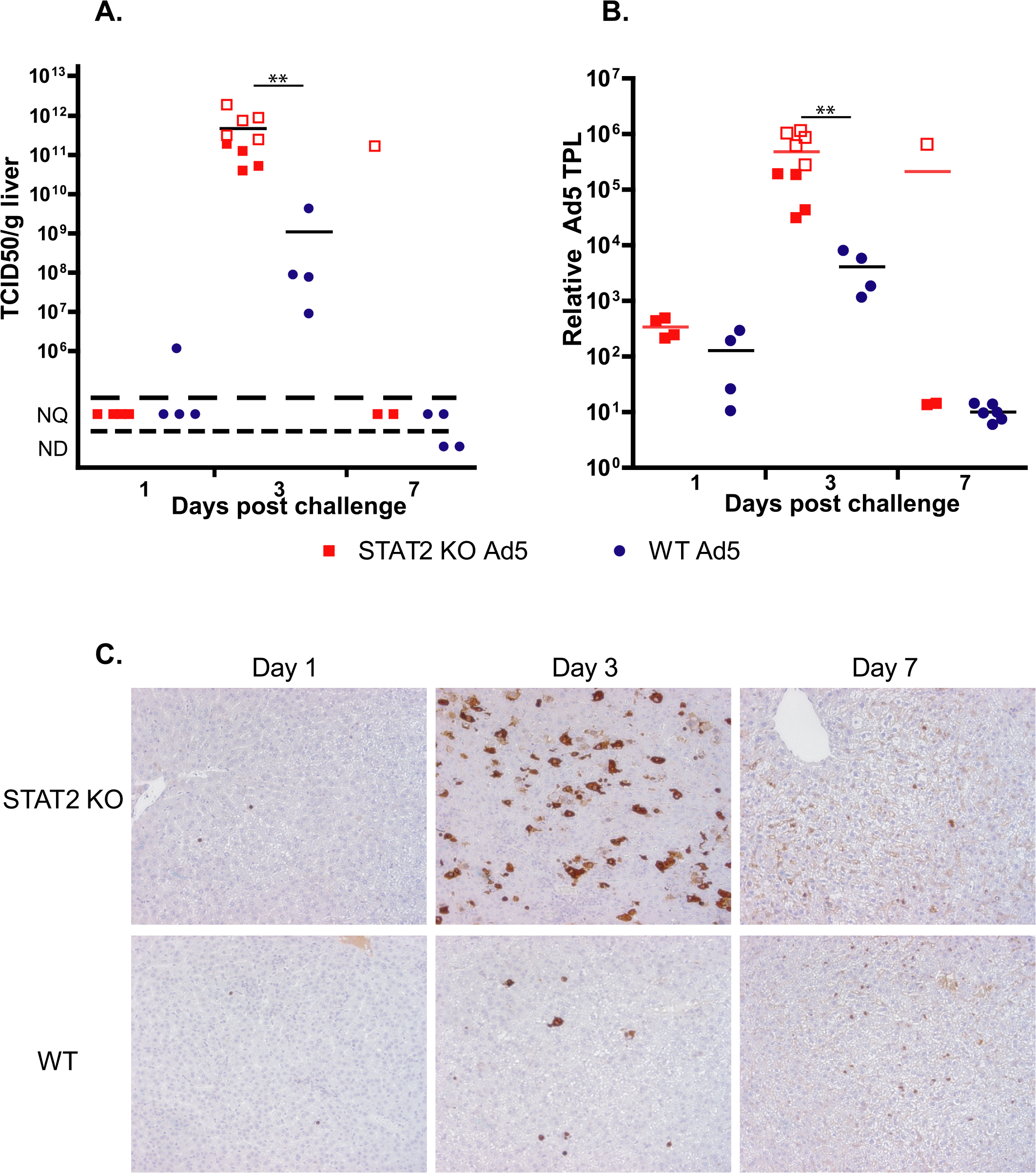 The virus load is higher in Ad5-infected STAT2 KO hamsters than in wt animals.