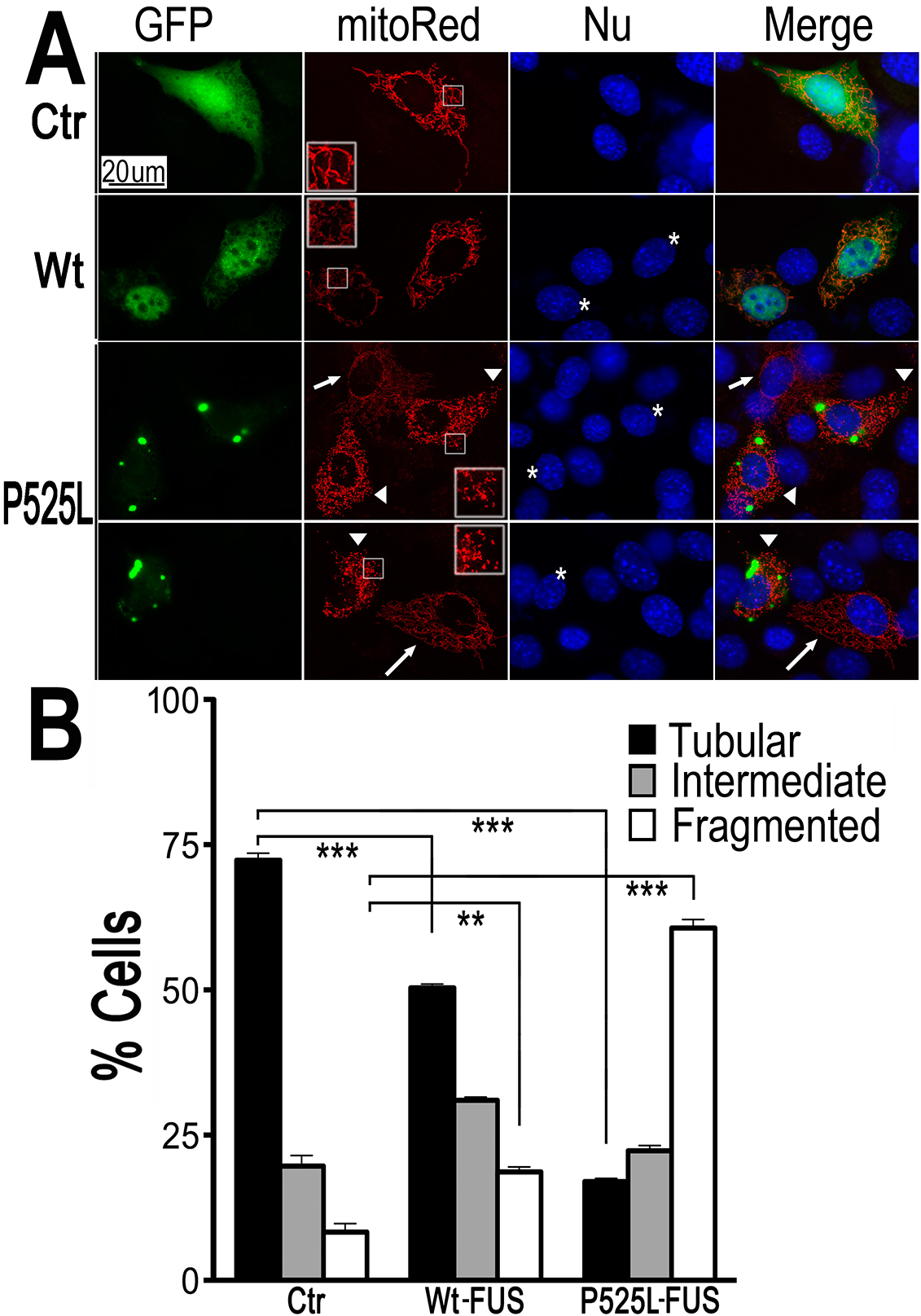 Expression of Wt- or ALS-mutant FUS in HT22 neuron-like cells led to mitochondrial fragmentation.