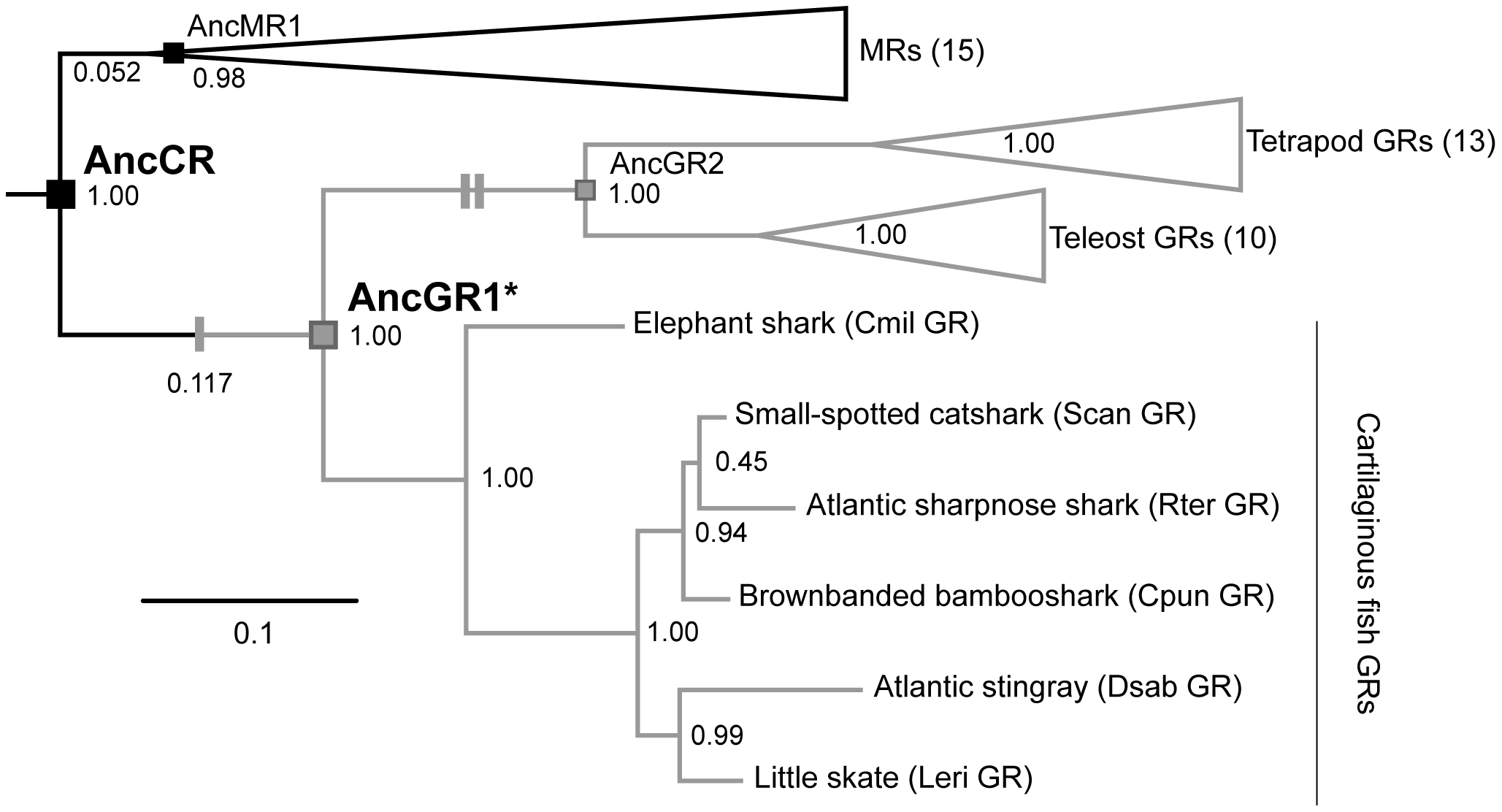Simplified phylogeny of corticosteroid receptors.