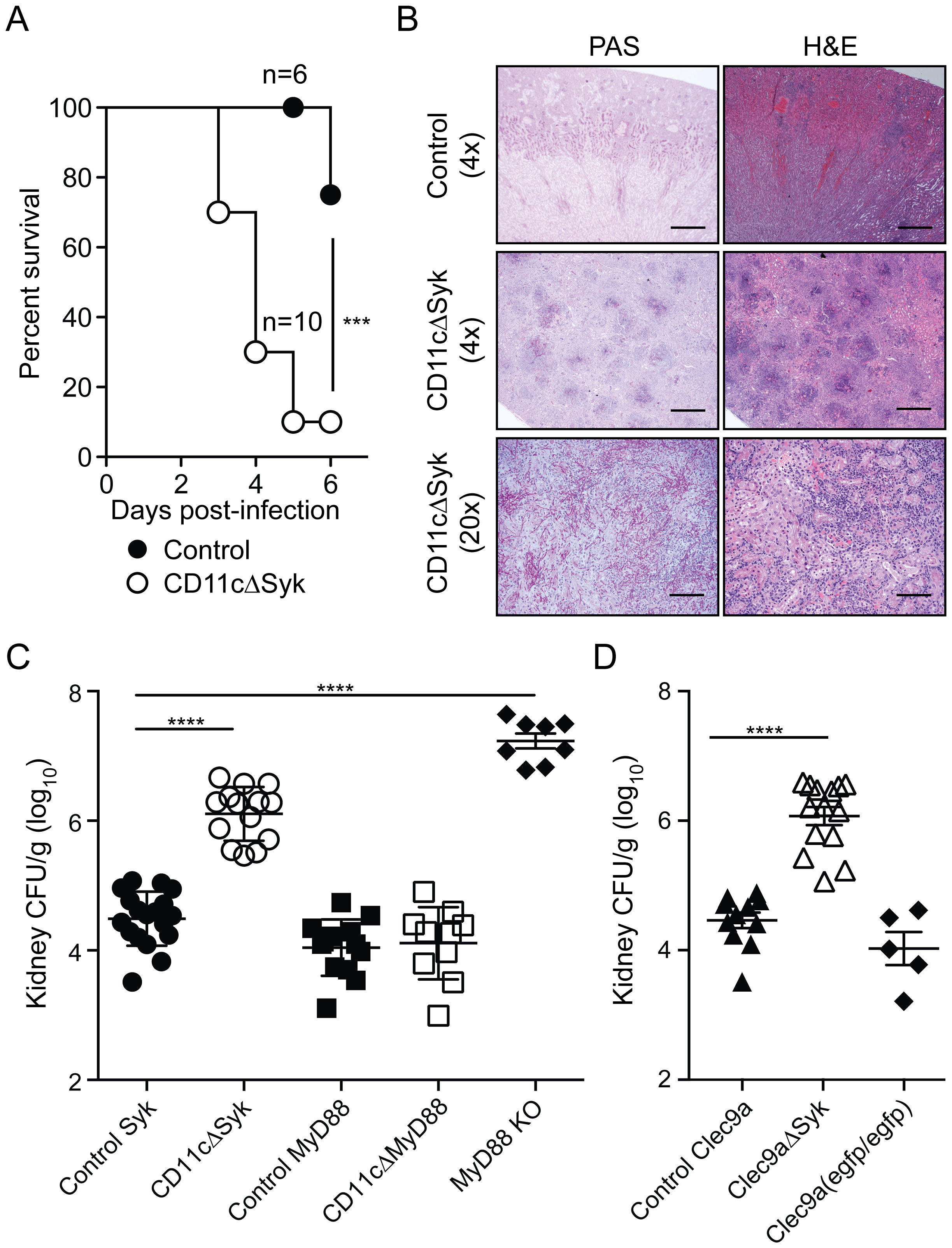 Mice with targeted deletion of Syk in CD11c<sup>+</sup> cells show increased susceptibility to systemic candidiasis.