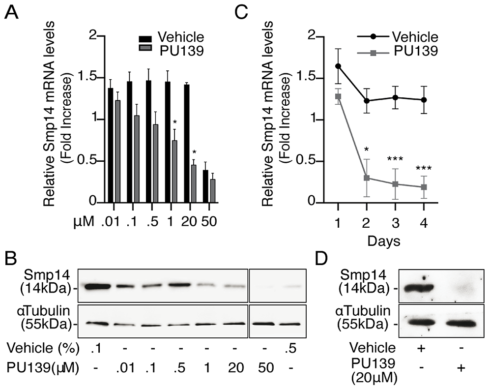 HAT inhibition impairs <i>Smp14</i> transcription and translation in <i>S. mansoni</i> adult worms.