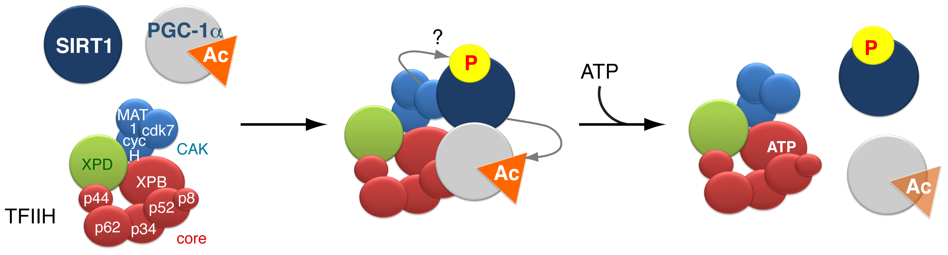 Model of the dynamic partnership between TFIIH, PGC-1α and SIRT1.