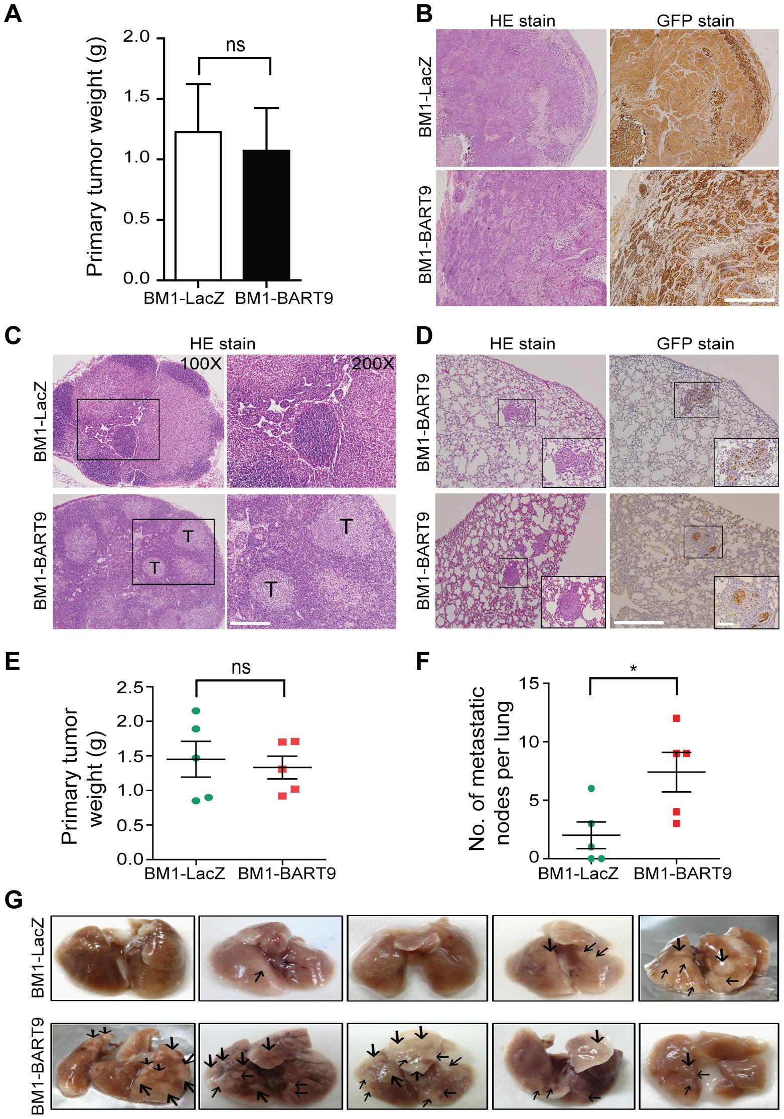 miR-BART9 enhances the metastatic activity of EBV-negative NPC cells <i>in vivo</i>.