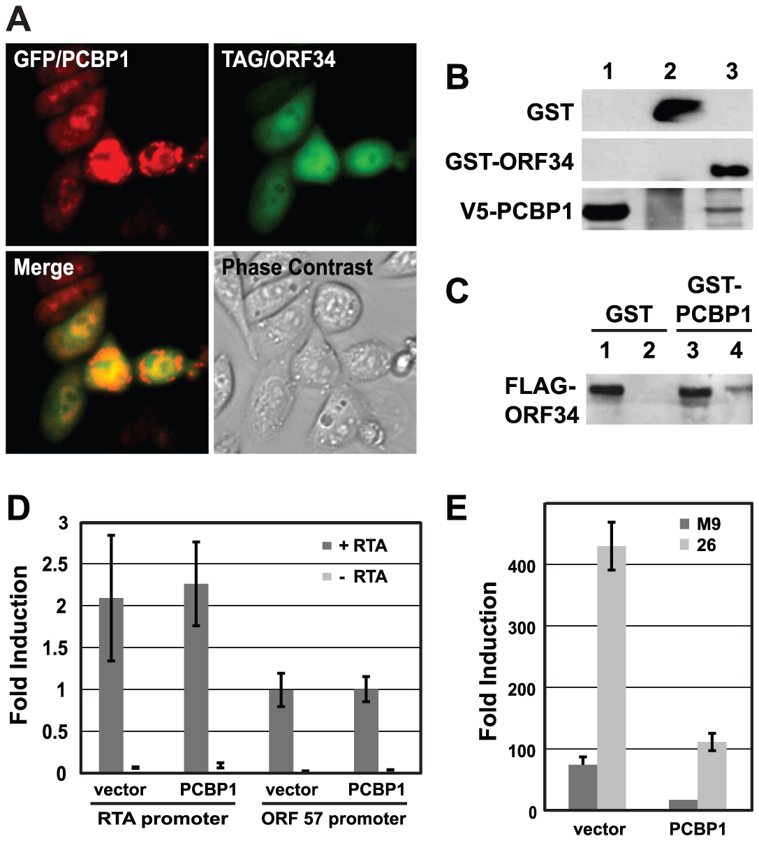 PCBP1 interacts with ORF34 in mammalian cells and negatively regulates late gene expression.