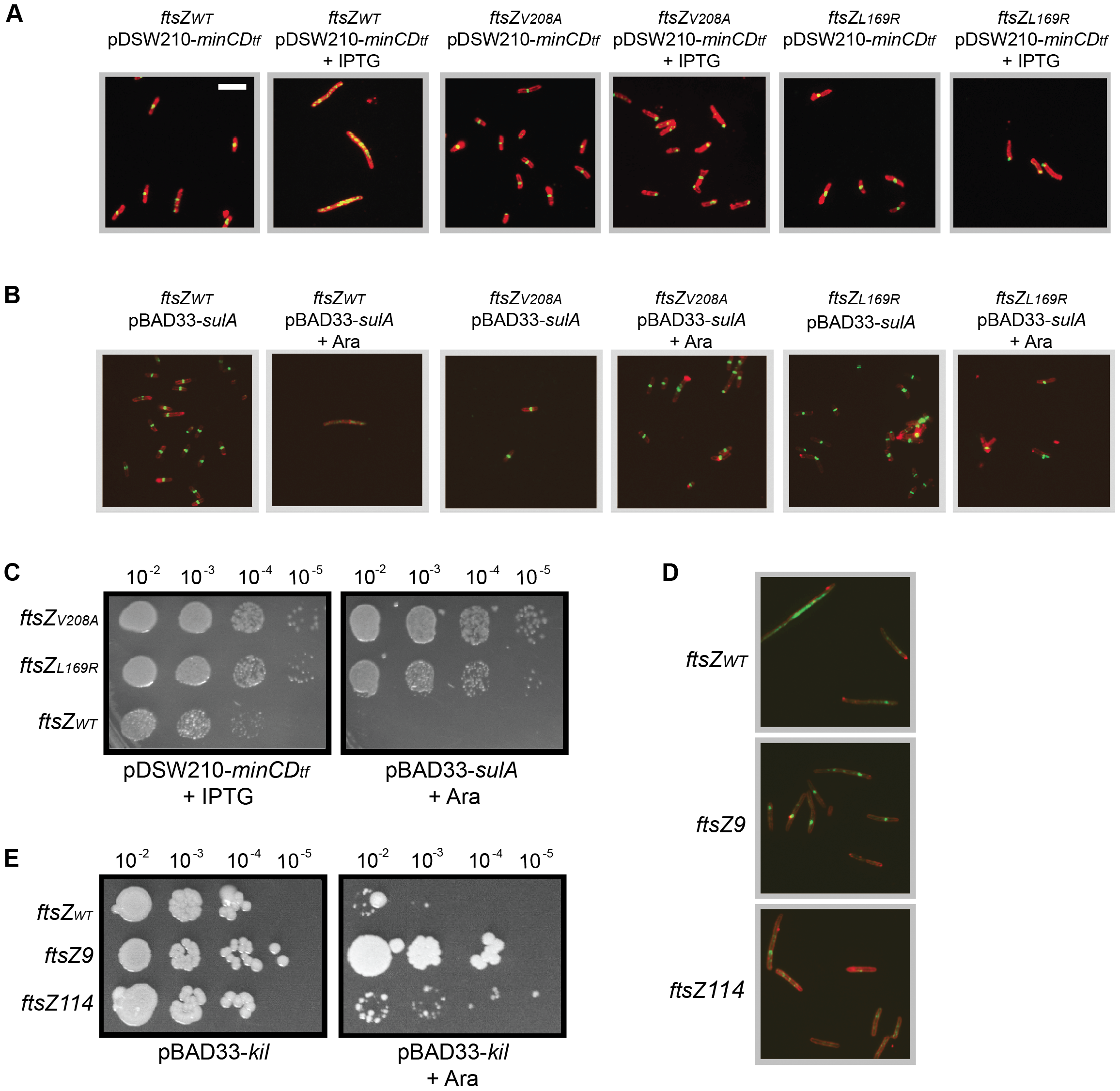 General resistance of isolated ftsZ alleles to assembly inhibition.