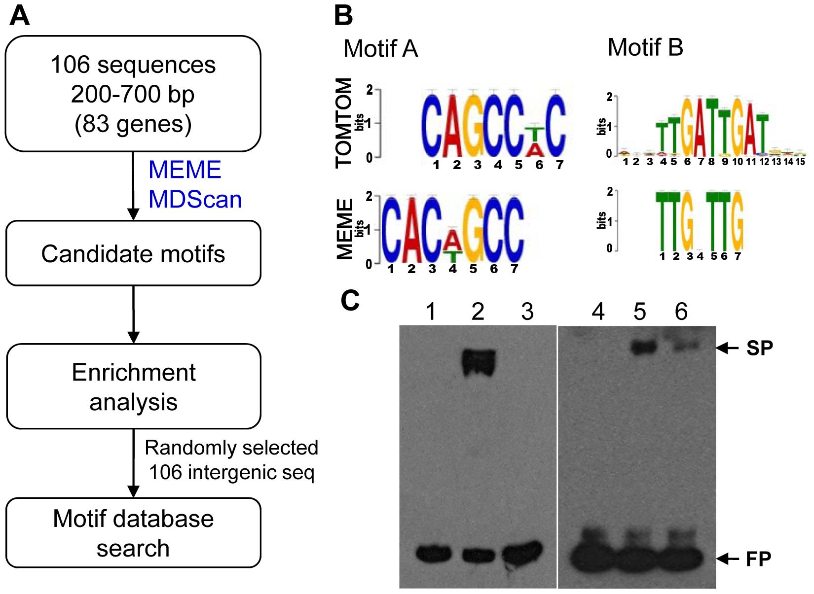 Putative MoCRZ1 binding motifs identified.