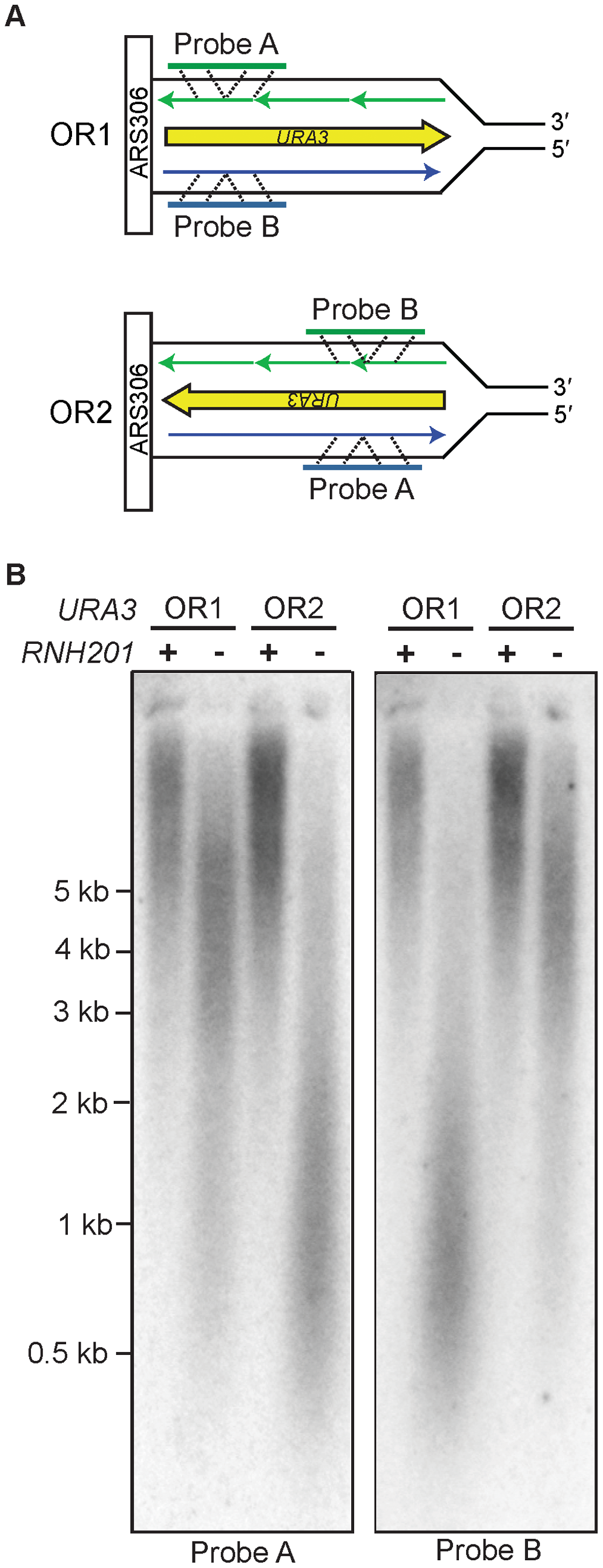 Strand-specific incorporation of rNMPs into genomic DNA.
