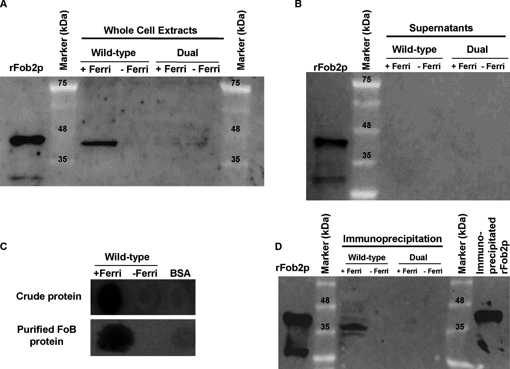 Western blot analysis demonstrating that Fob proteins are cell-associated, not secreted, and bind to radiolabeled ferrioxamine.