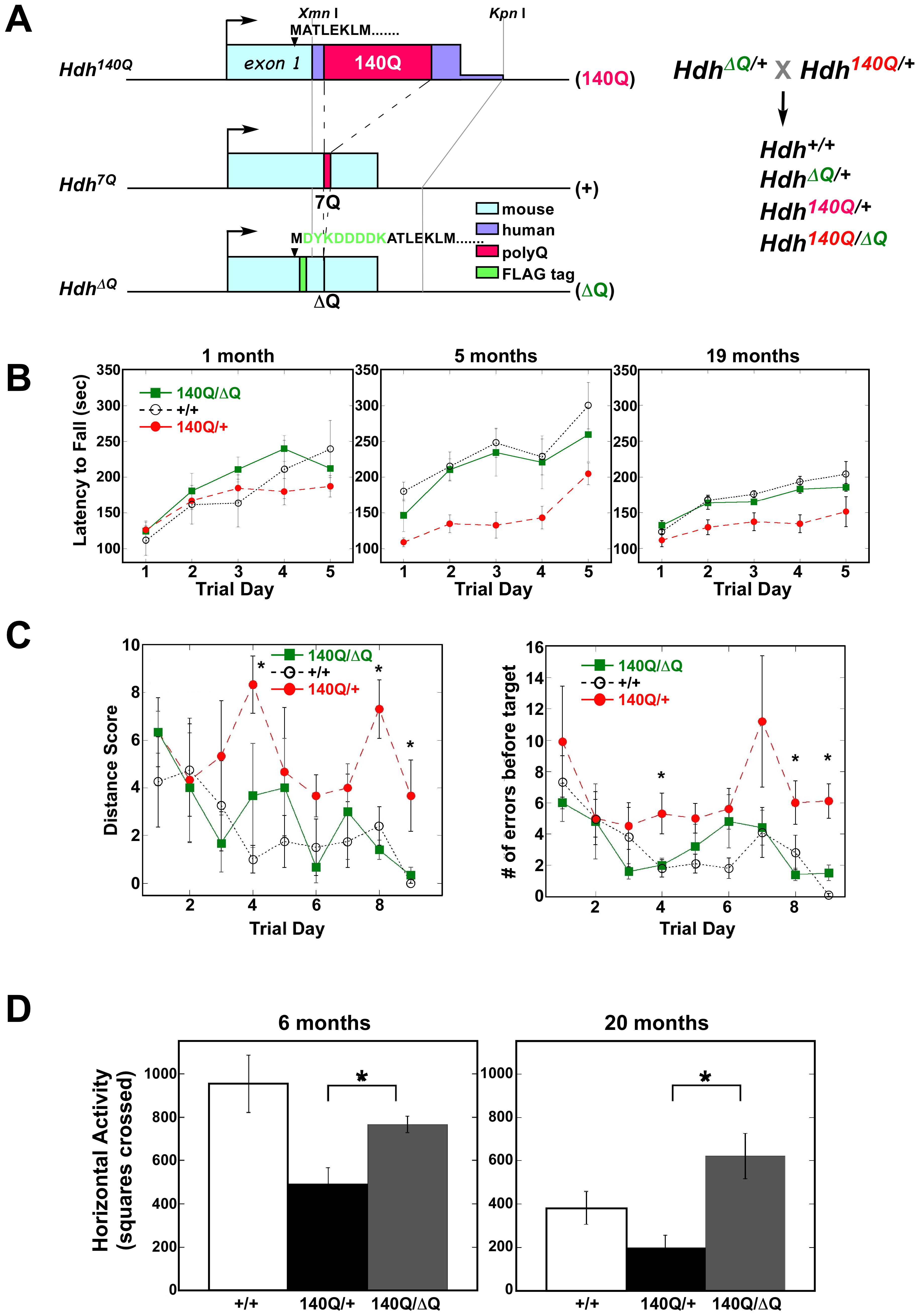 ΔQ-htt expression ameliorates motor and behavioral deficits in <i>Hdh<sup>140Q/ΔQ</sup></i> mice.