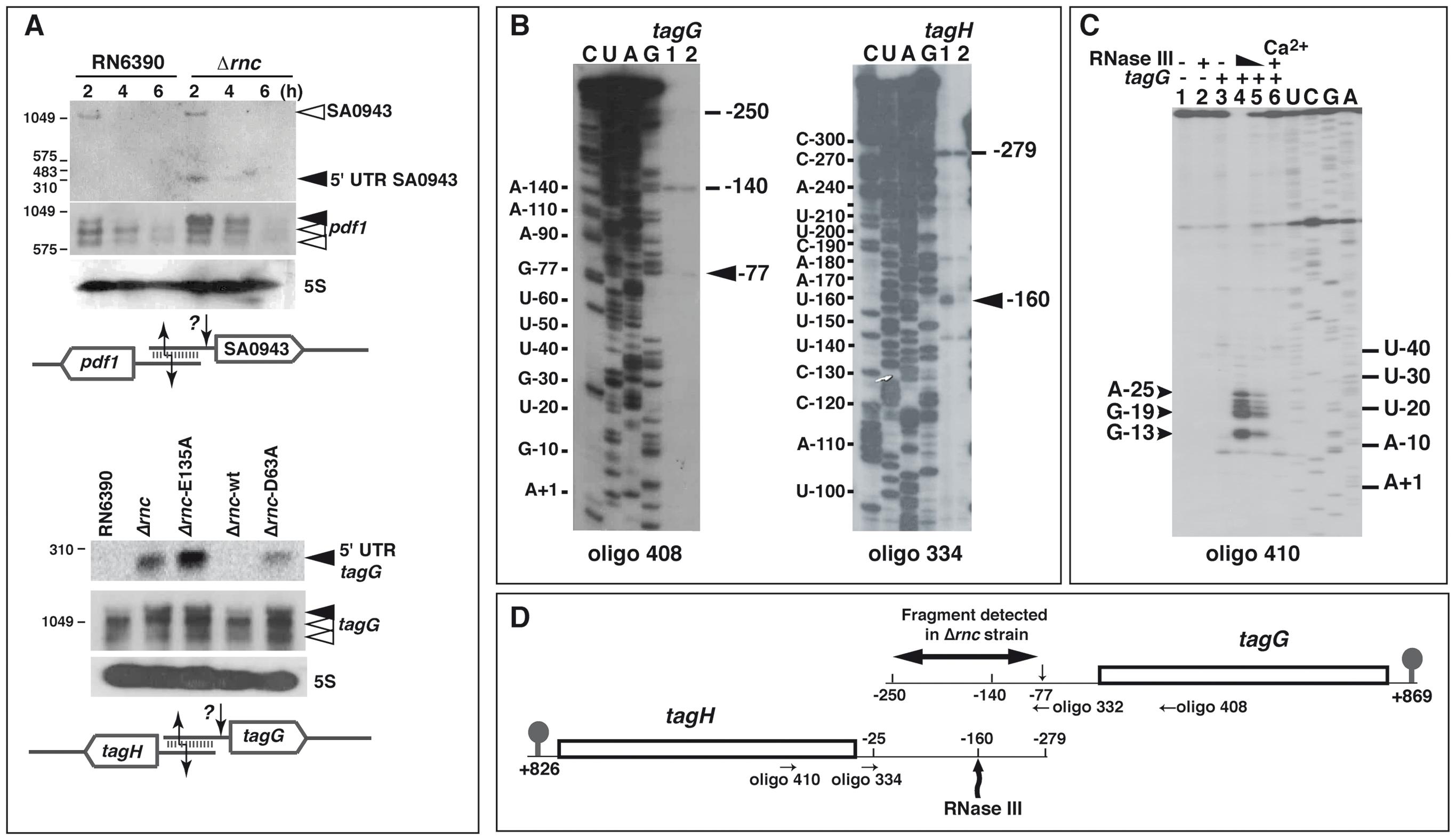 RNase III cleaves mRNAs with overlapping 5′ untranslated regions (UTR).