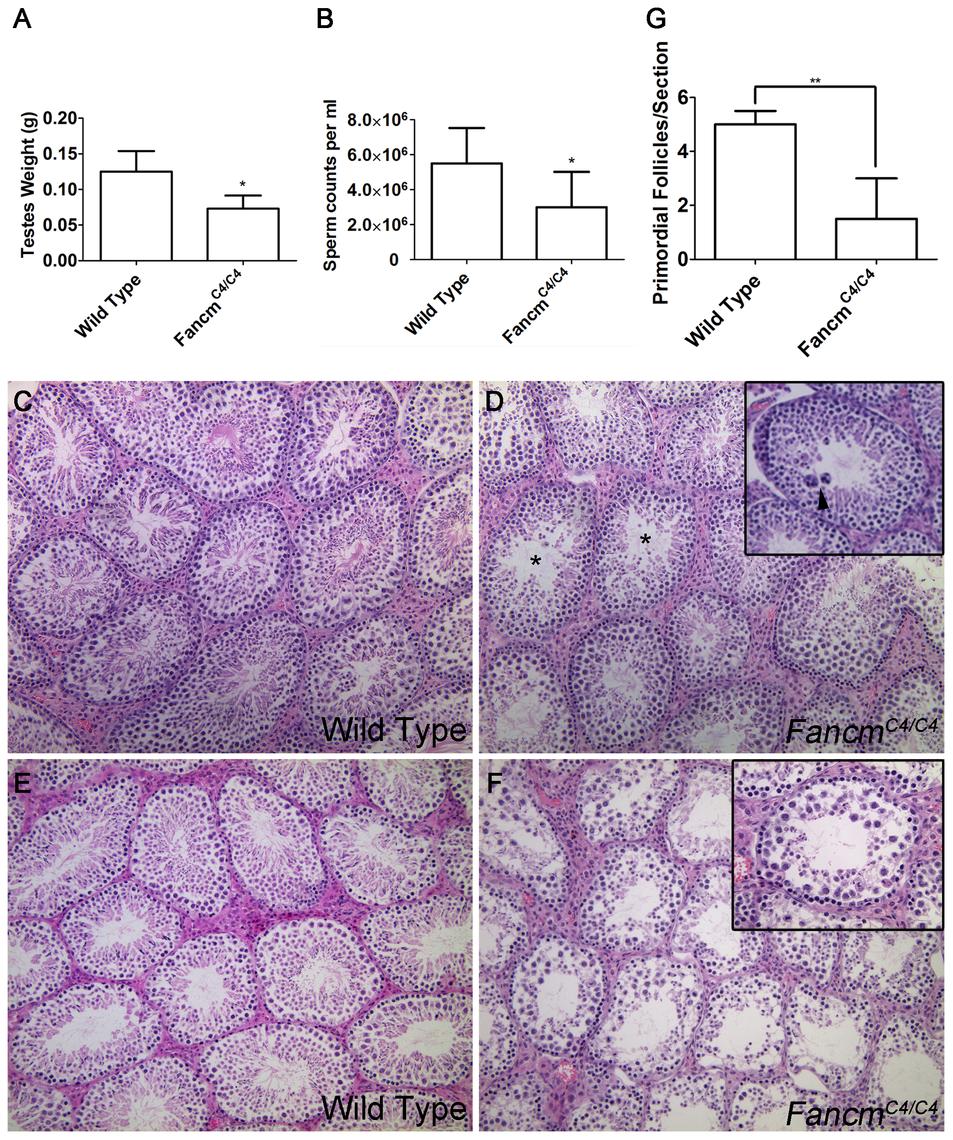 Hypogonadism and spermatogenesis defects in <i>Fancm</i> mutant males.