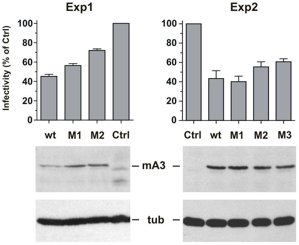 Antiviral activity of mA3 mutants carrying BALB/c residues at the 34–38 and 134–139 clusters.