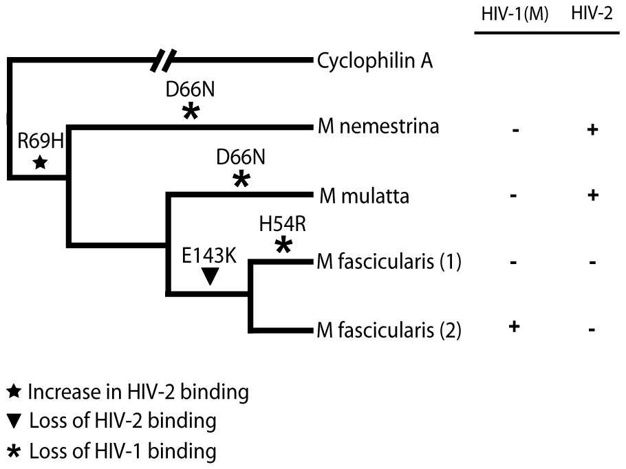 Mapping the differences in the TRIMCyp cyclophilin sequences onto the macaque phylogeny suggests convergent evolution of D66N and switching of antiviral specificity between lentiviral lineages throughout Asian macaque evolution.